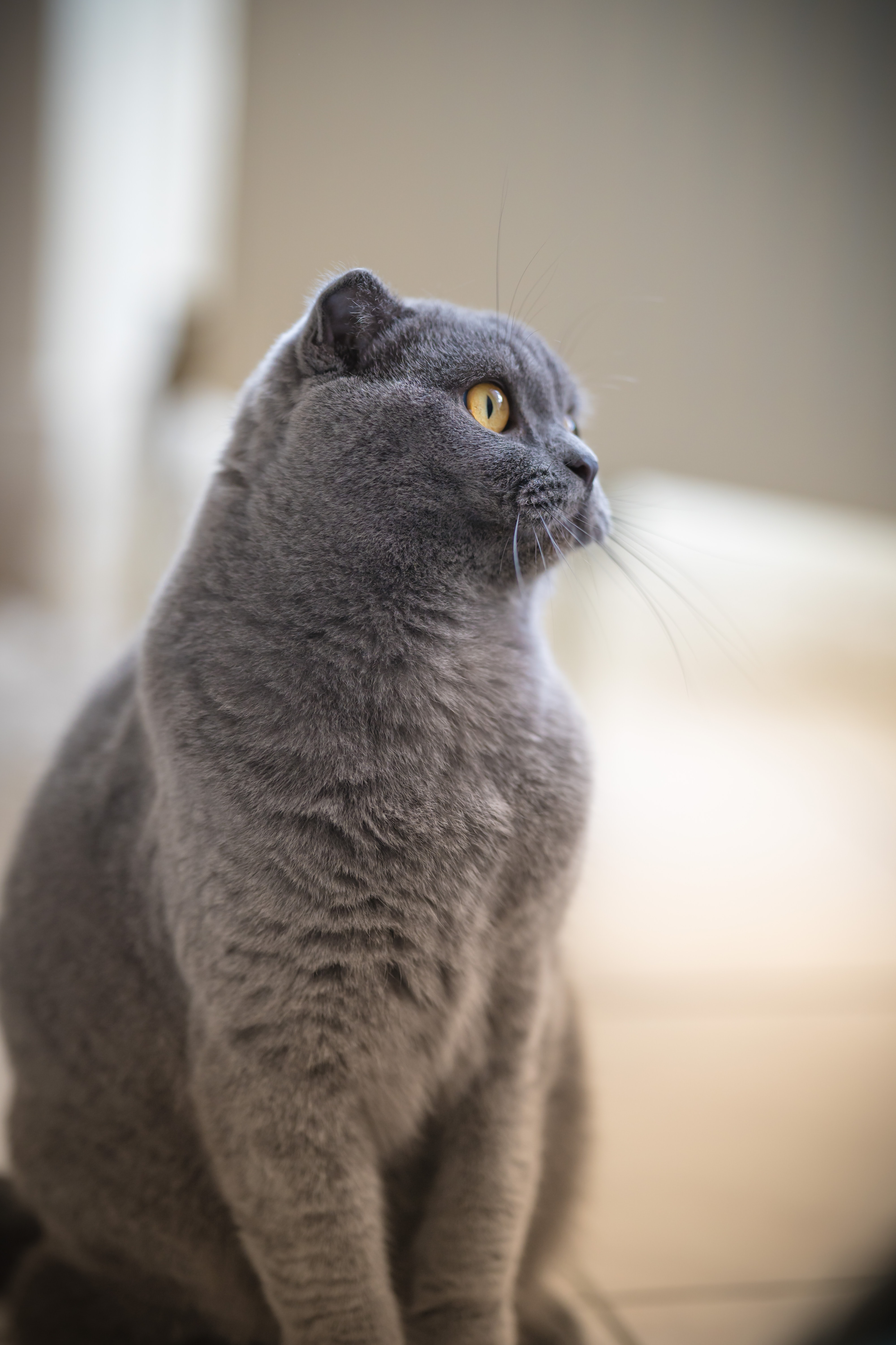 92612 download wallpaper Animals, British Cat, Cat, Pet, Sight, Opinion, Profile screensavers and pictures for free
