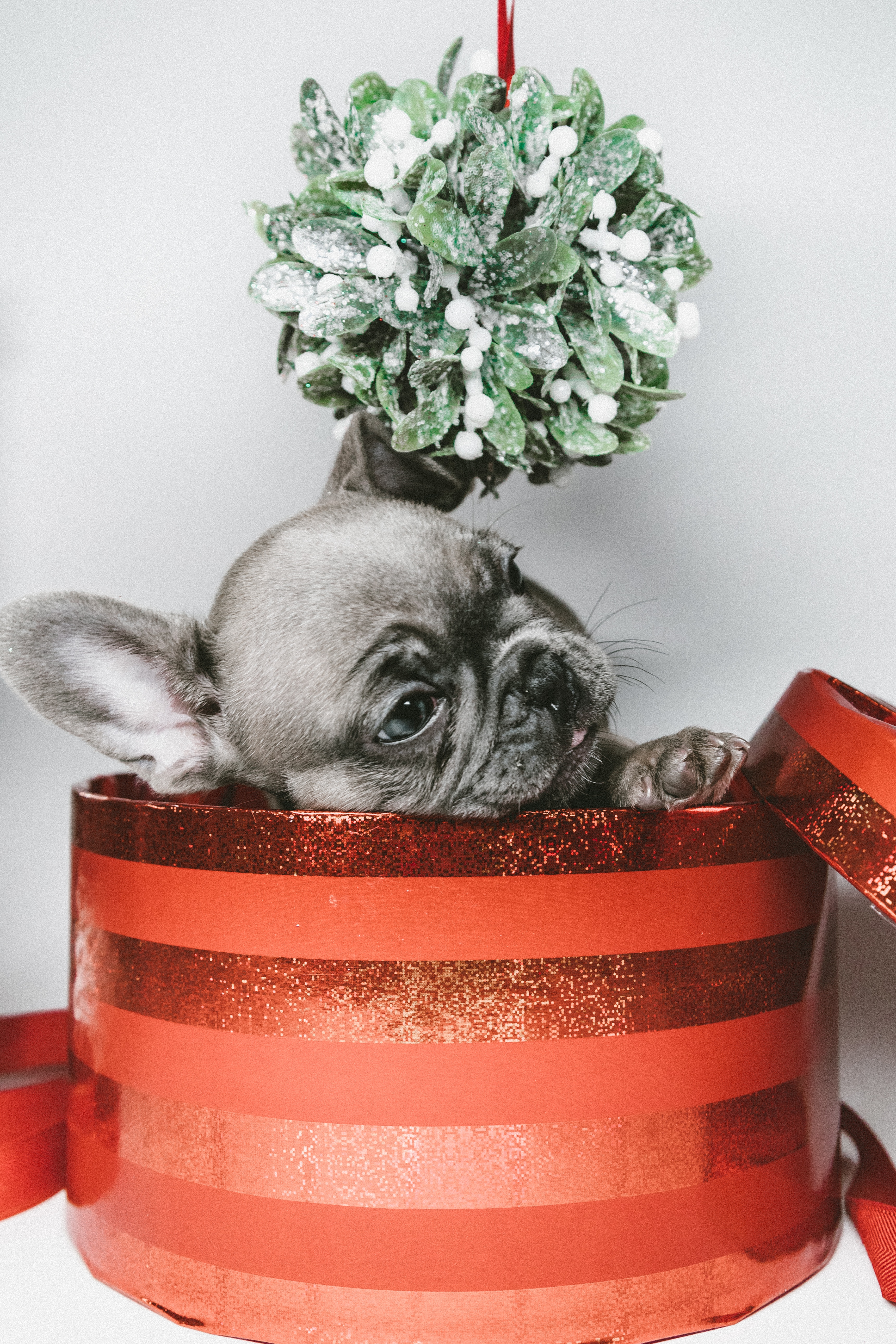 137057 download wallpaper Animals, Puppy, Box, Present, Gift screensavers and pictures for free