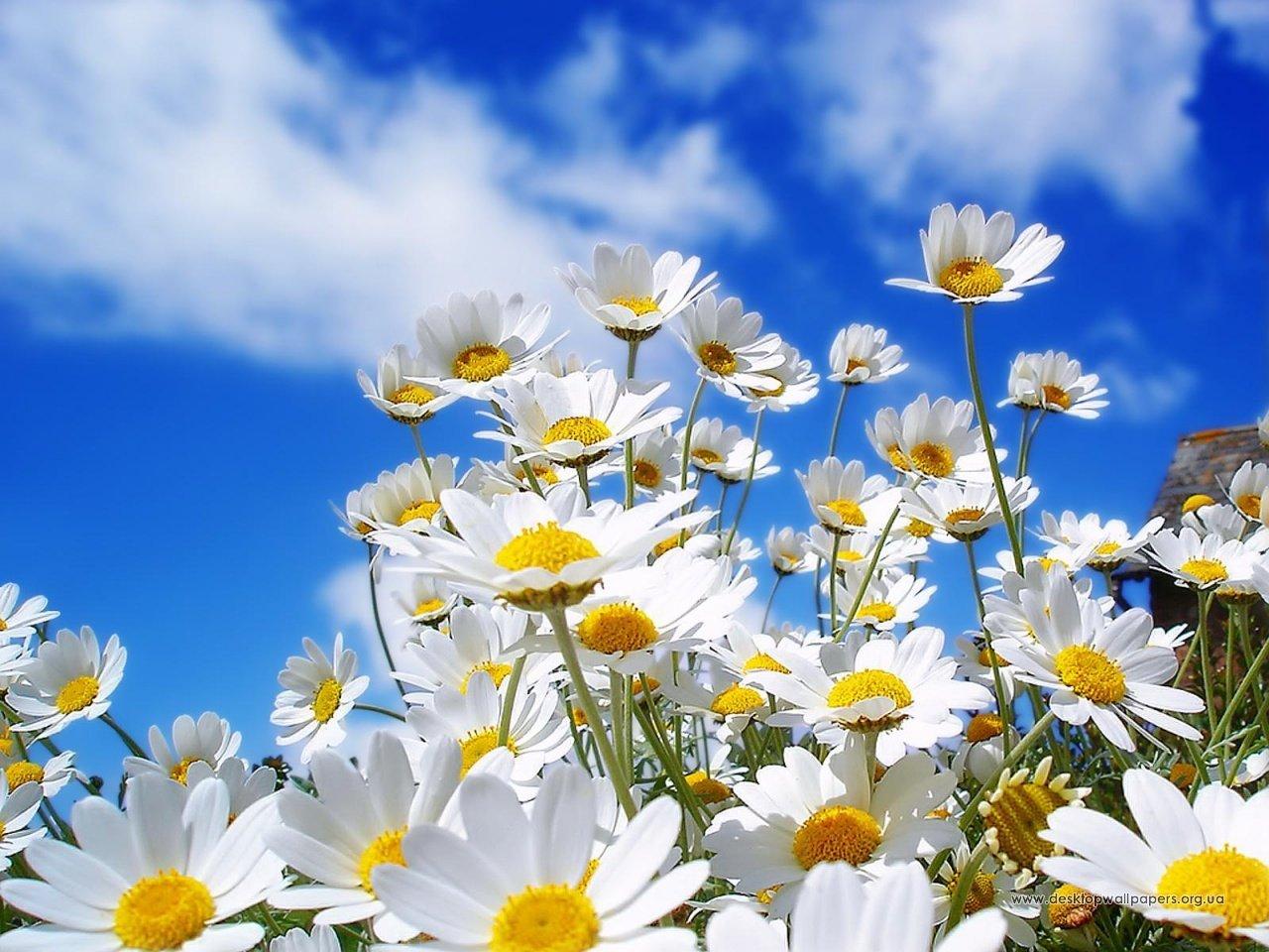 18412 скачать обои Растения, Цветы, Небо, Ромашки - заставки и картинки бесплатно