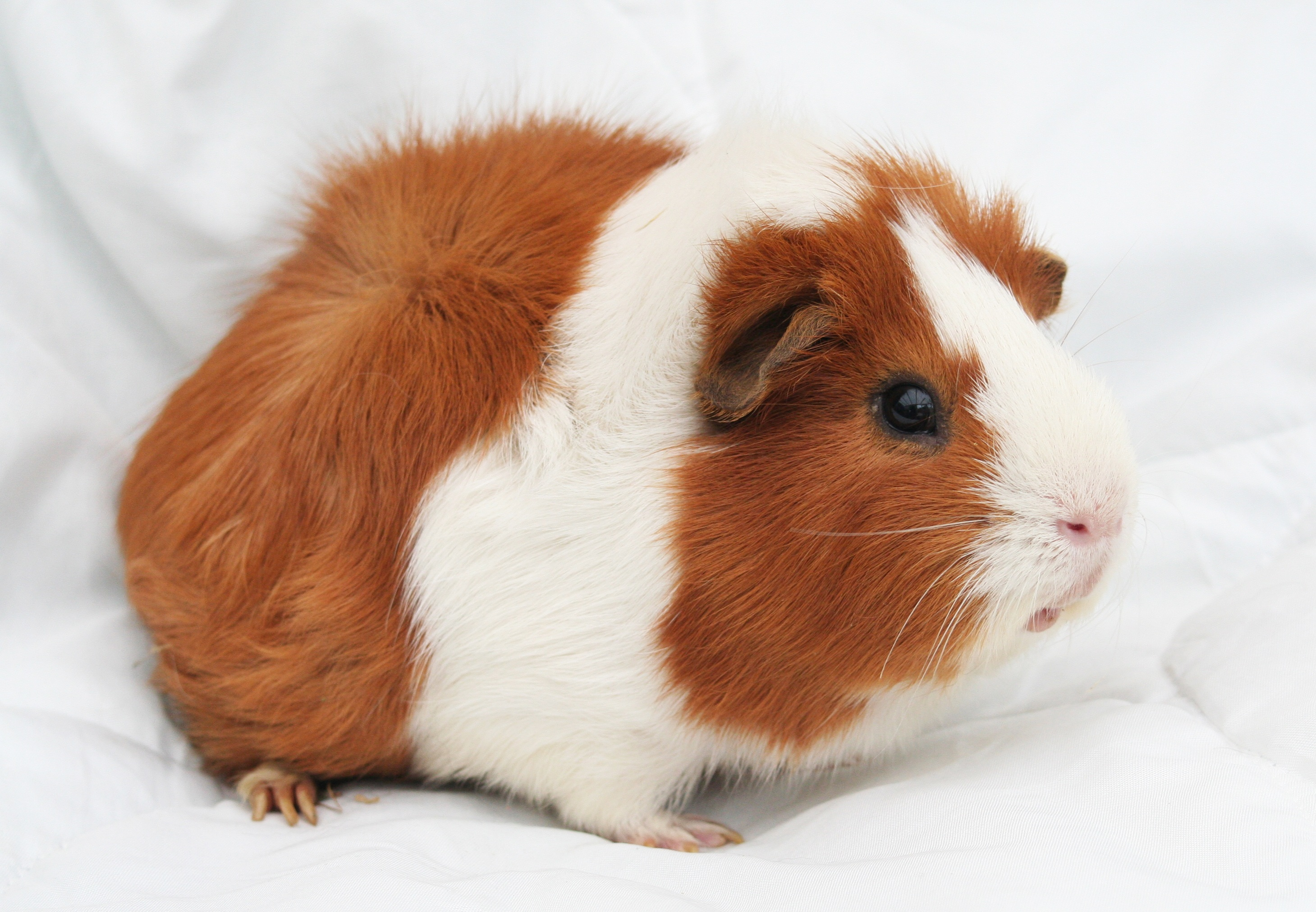 152333 download wallpaper Animals, Guinea Pig, Rodent, Spotted, Spotty screensavers and pictures for free