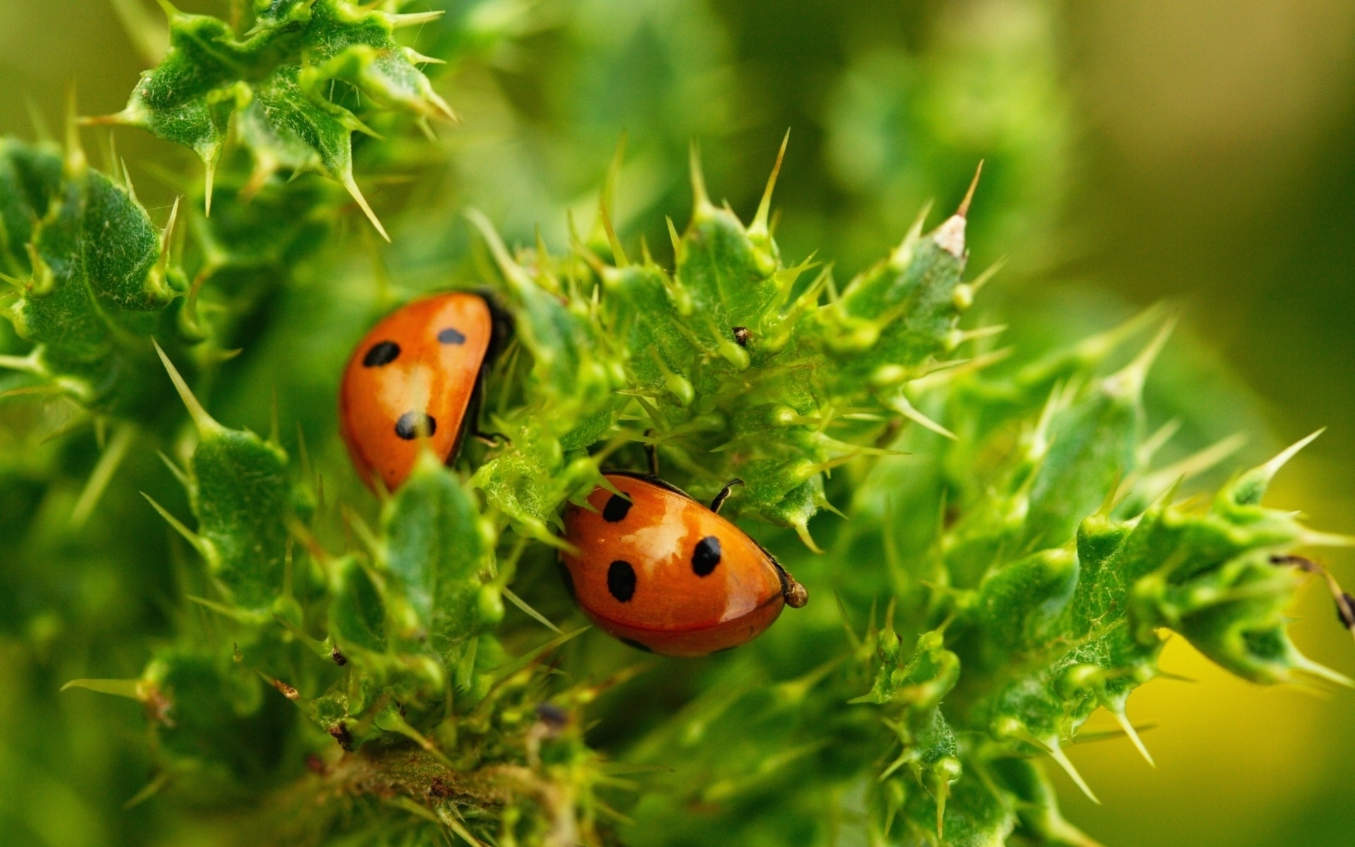27847 download wallpaper Insects, Ladybugs screensavers and pictures for free