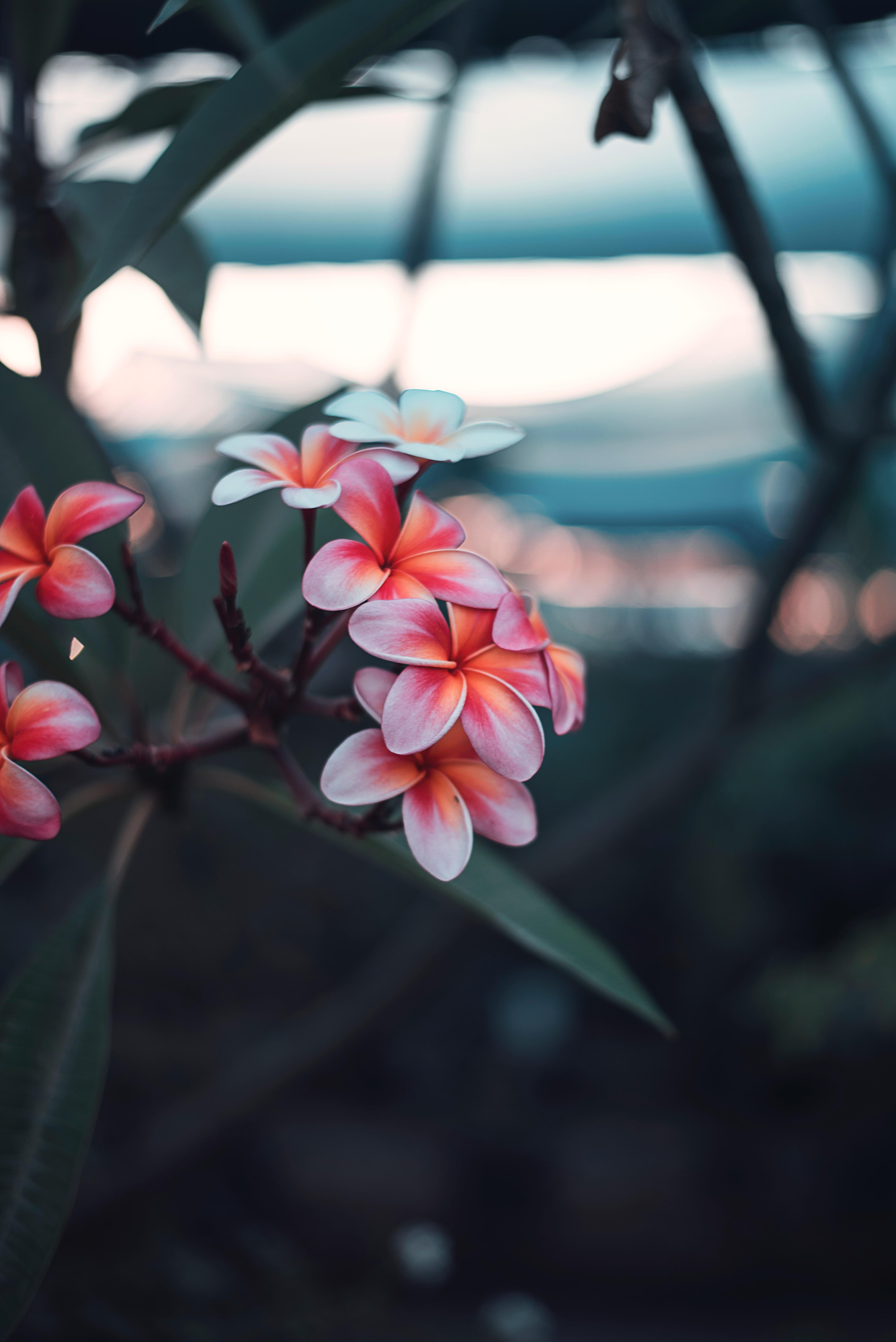 113024 fond d'écran 720x1560 sur votre téléphone gratuitement, téléchargez des images Fleurs, Rose, Floraison, Branche, Pluméria, Plumeria 720x1560 sur votre mobile