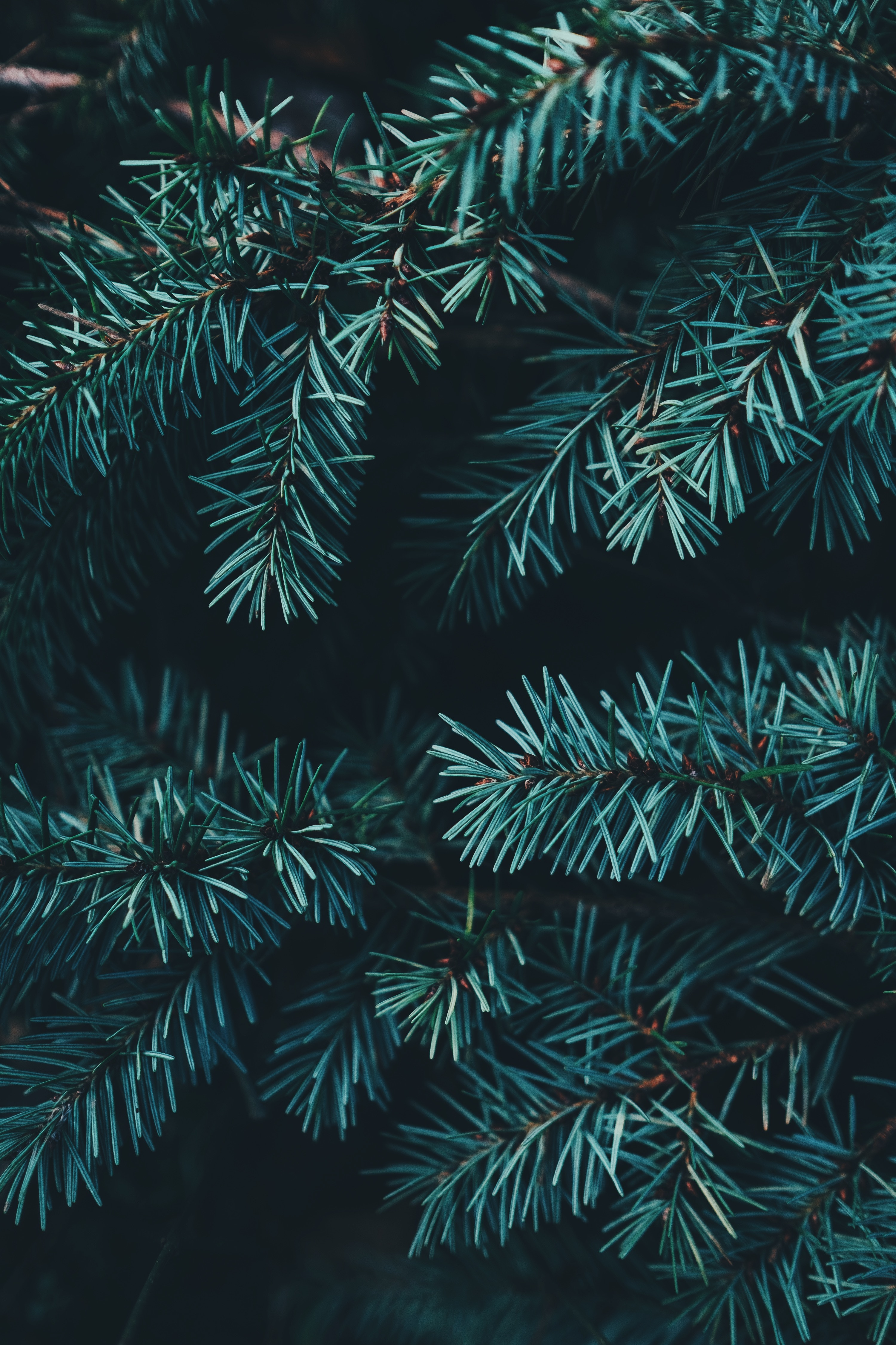 135338 download wallpaper Forest, Nature, Needle, Branches, Spruce, Fir screensavers and pictures for free