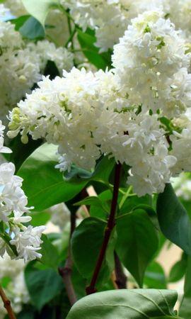 31885 descargar fondo de pantalla Plantas, Flores, Lila: protectores de pantalla e imágenes gratis