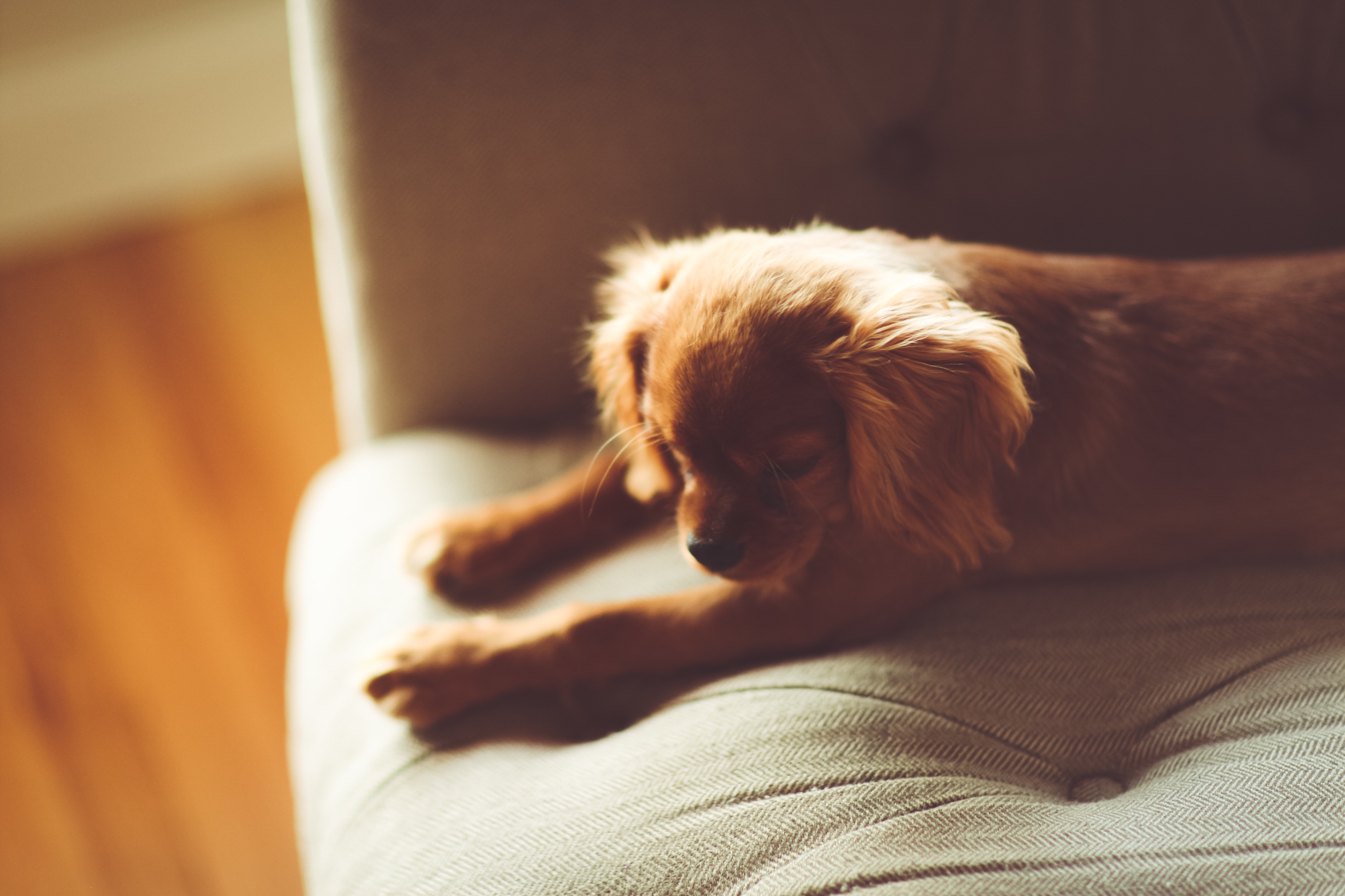 112148 download wallpaper Animals, Dog, Puppy, Lies, Sofa screensavers and pictures for free