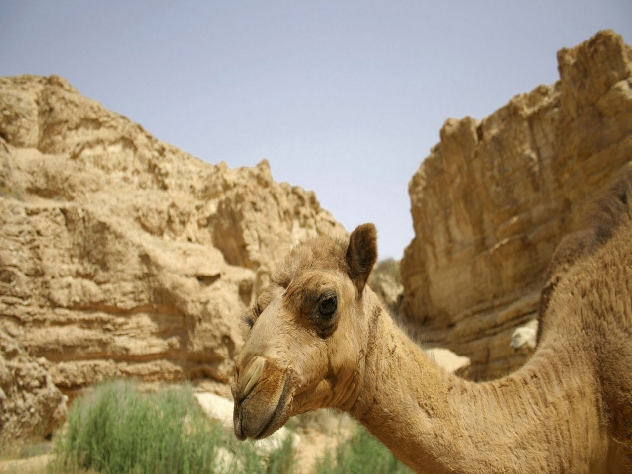 25006 download wallpaper Animals, Mountains, Camels screensavers and pictures for free