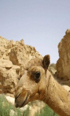 25006 скачать обои Животные, Горы, Верблюды - заставки и картинки бесплатно