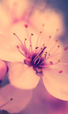 17276 download wallpaper Plants, Flowers, Sakura screensavers and pictures for free