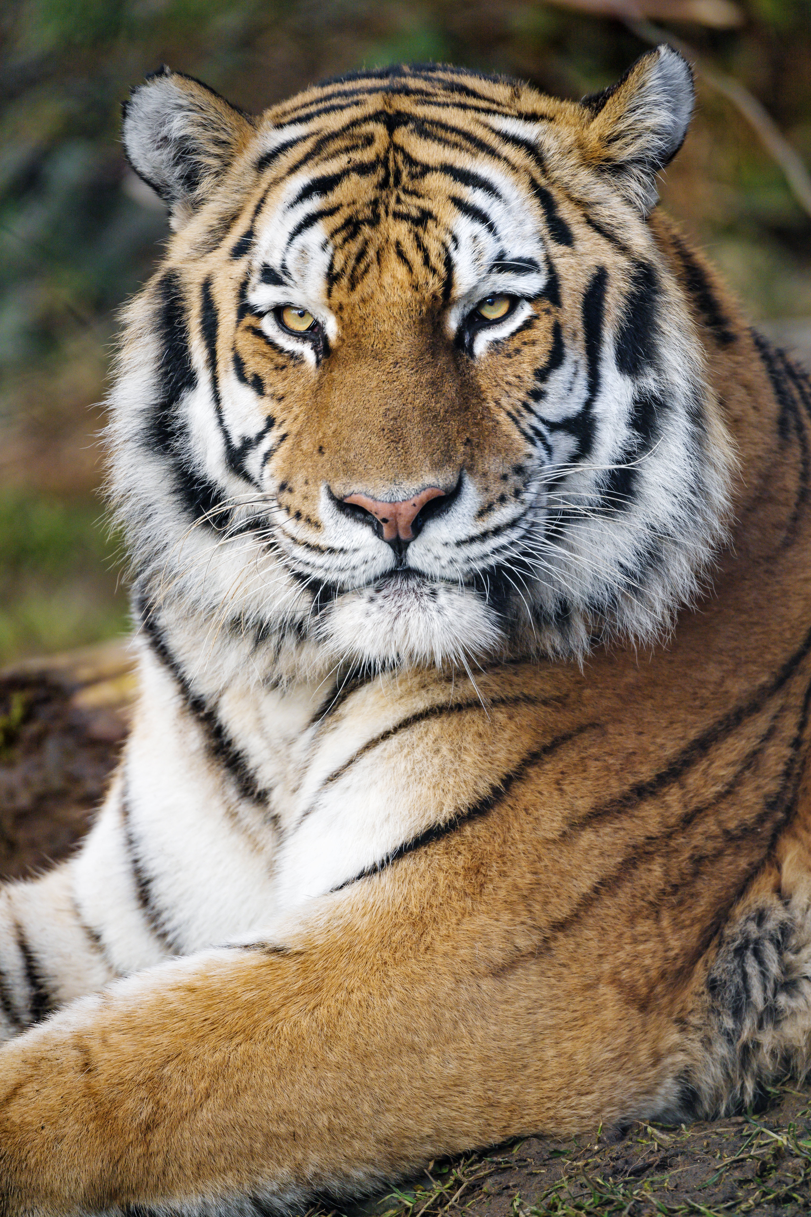 128022 download wallpaper Animals, Tiger, Big Cat, Predator, Sight, Opinion, Stripes, Strips screensavers and pictures for free