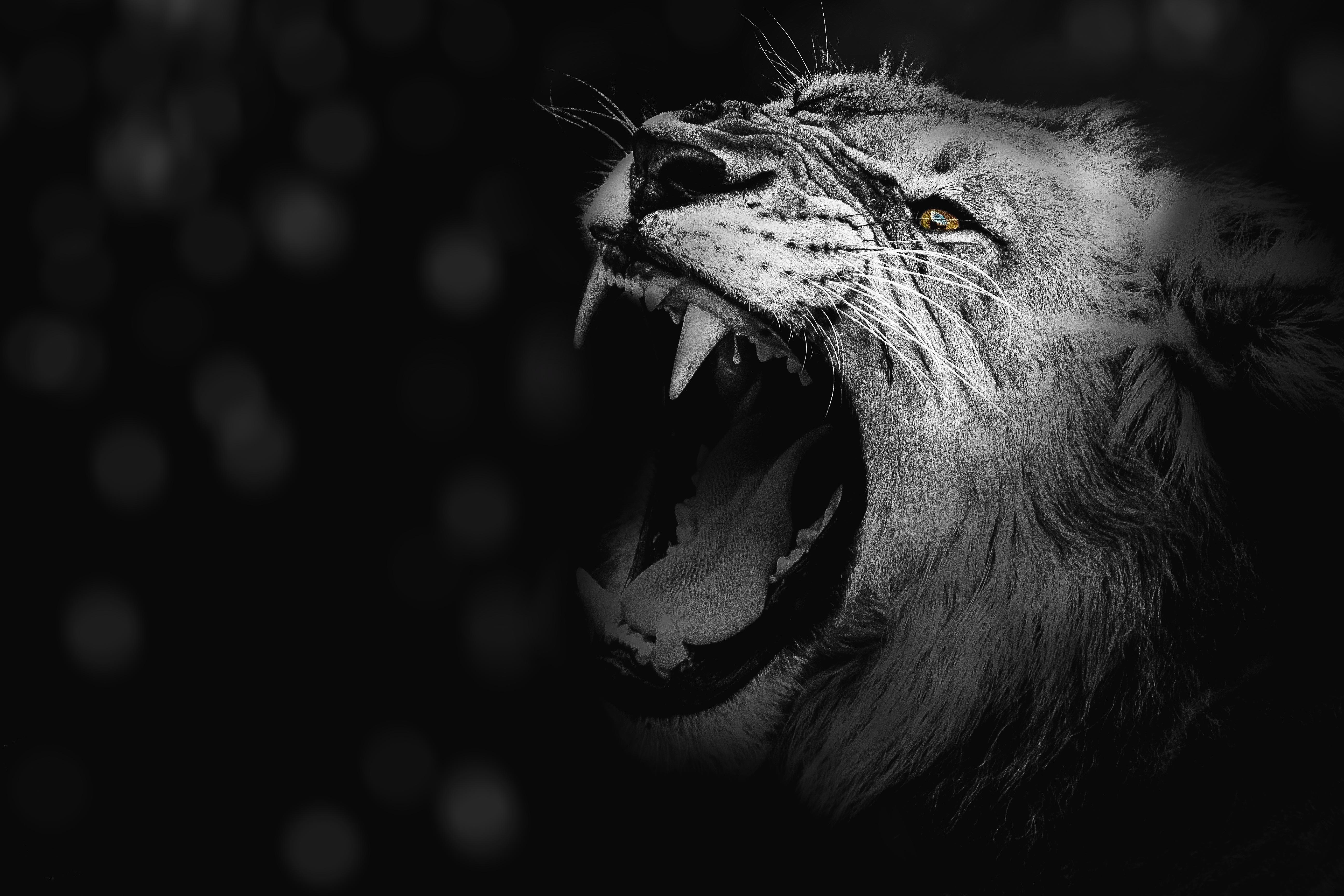 131743 Hintergrundbild 128x160 kostenlos auf deinem Handy, lade Bilder Tiere, Grinsen, Grin, Ein Löwe, Löwe, Raubtier, Predator, Bw, Chb, Fangzähne, Zähne, König Der Bestien 128x160 auf dein Handy herunter