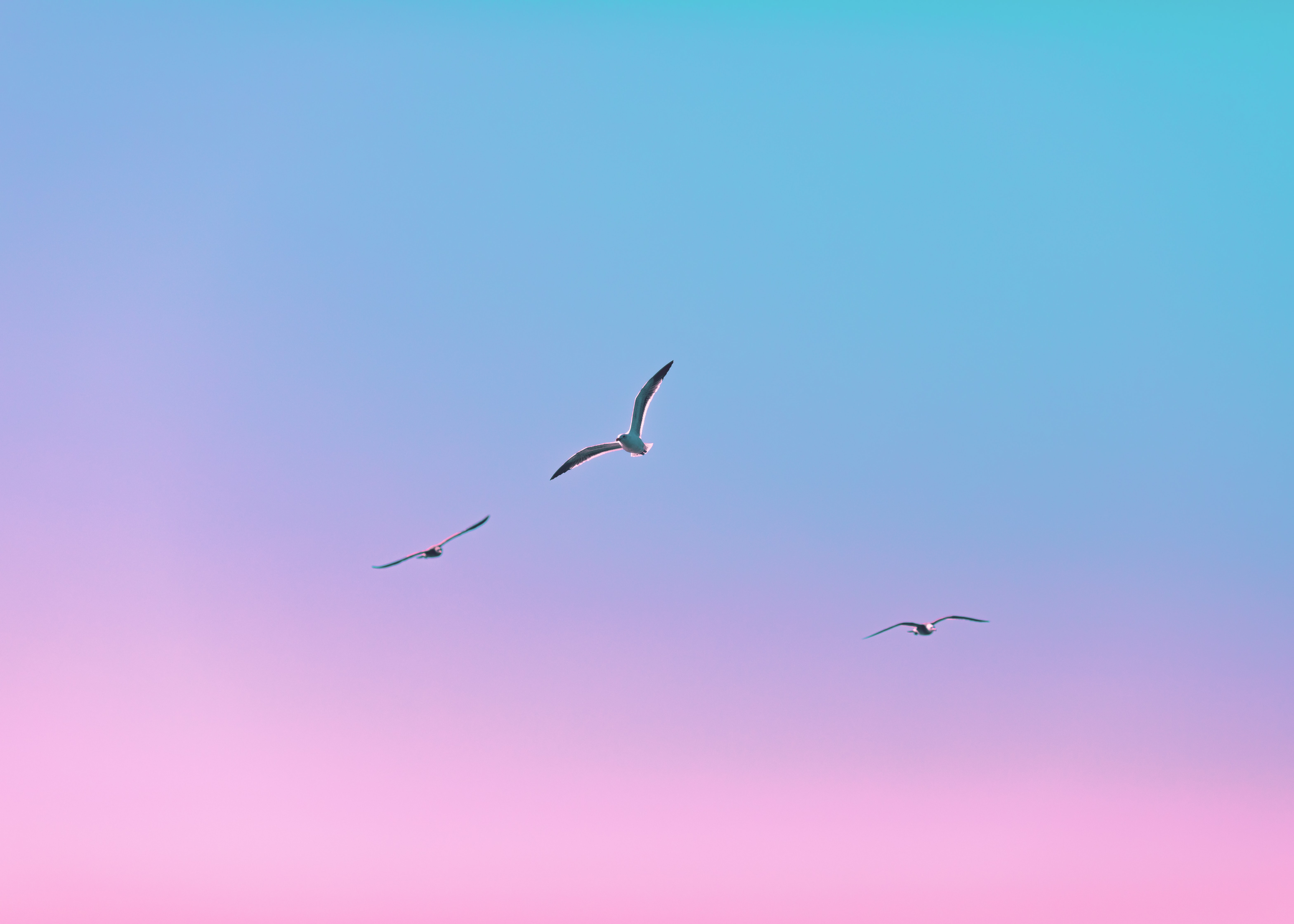 64508 download wallpaper Minimalism, Flight, Gradient, Birds, Seagulls screensavers and pictures for free