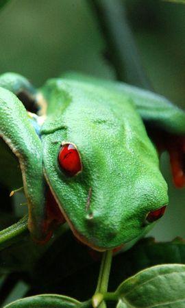 27031 baixar papel de parede Animais, Frogs - protetores de tela e imagens gratuitamente