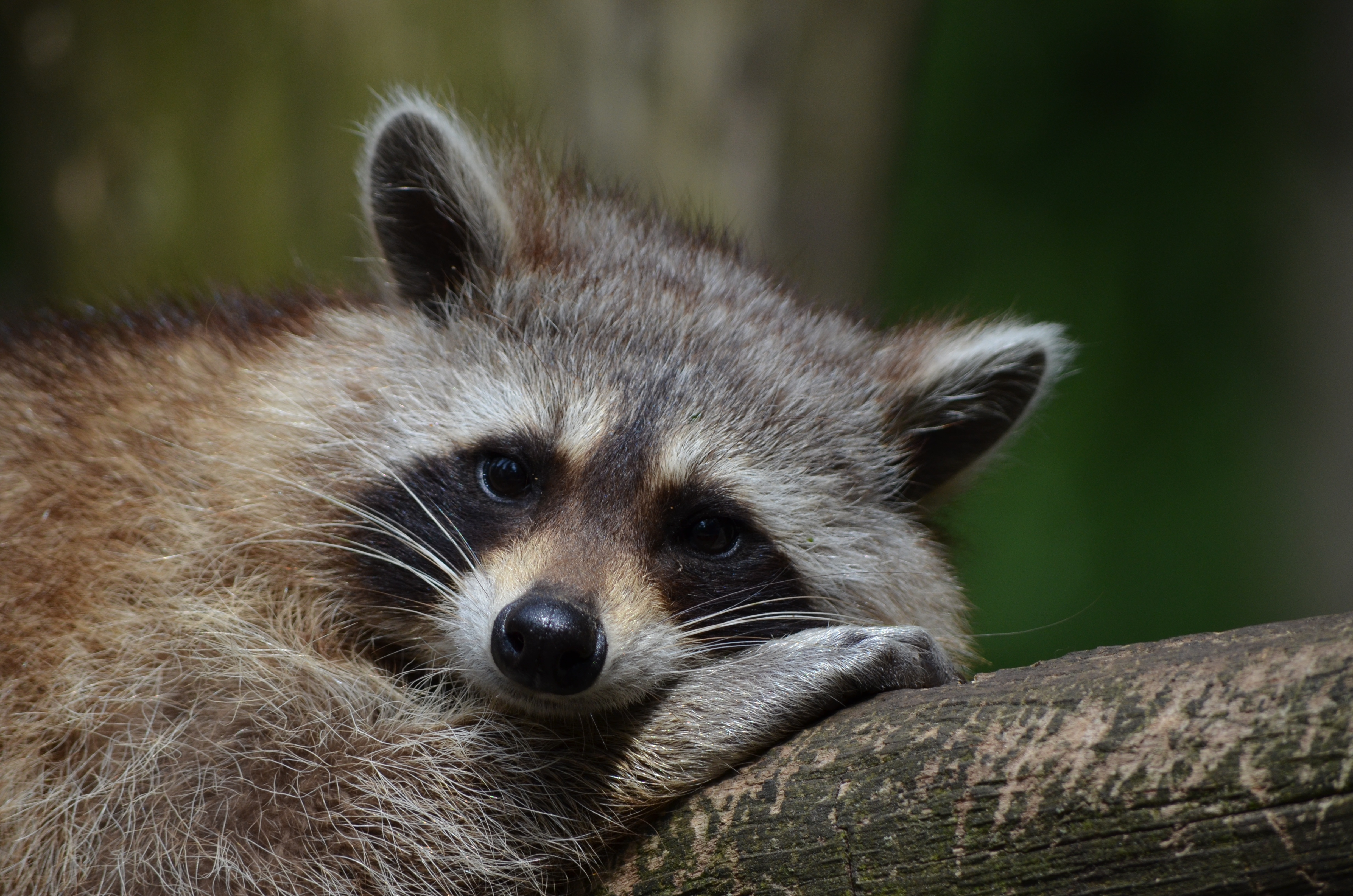 83984 Screensavers and Wallpapers Muzzle for phone. Download Animals, Lies, Muzzle, Animal, Raccoon pictures for free