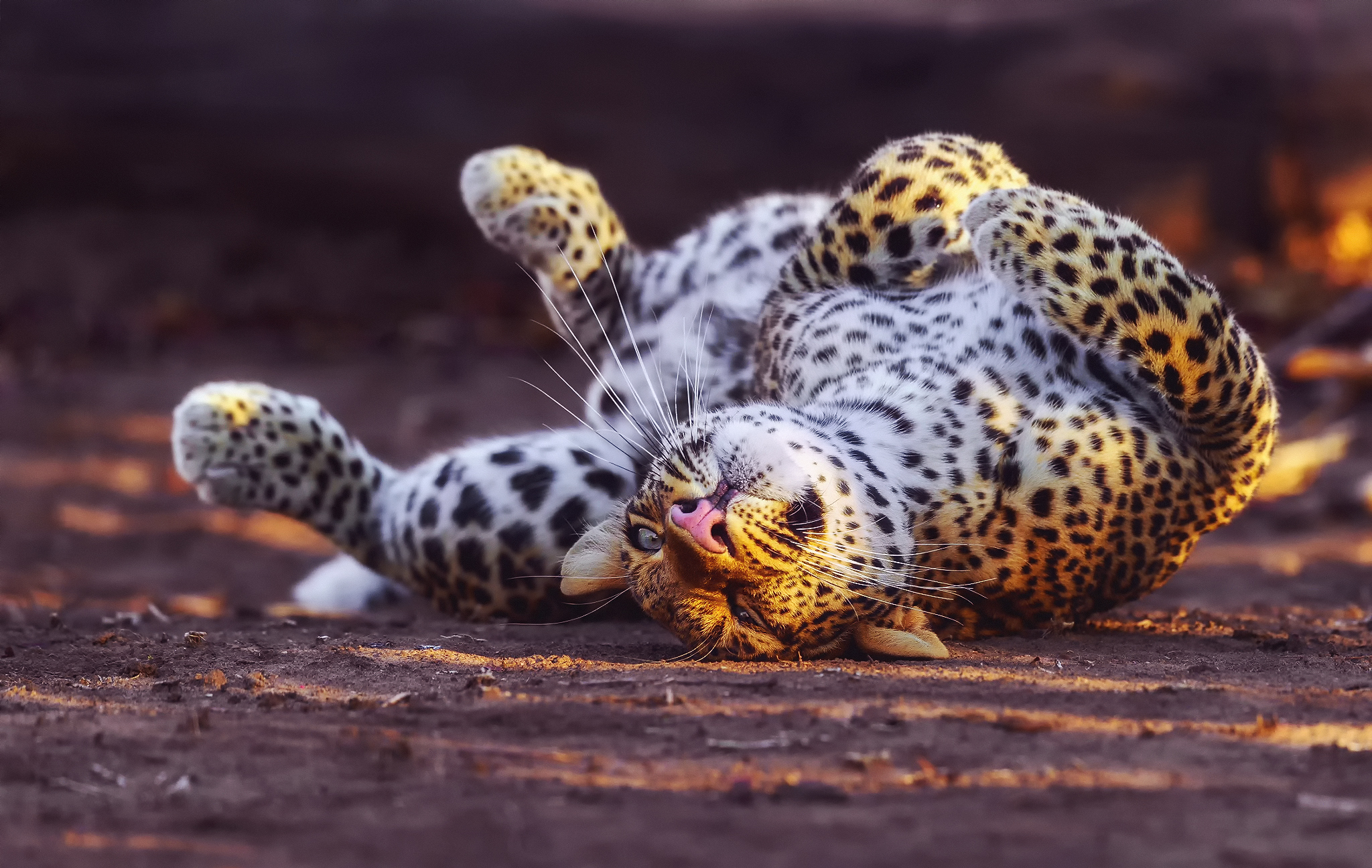 141849 download wallpaper Animals, Leopard, Predator, Big Cat, Playful screensavers and pictures for free