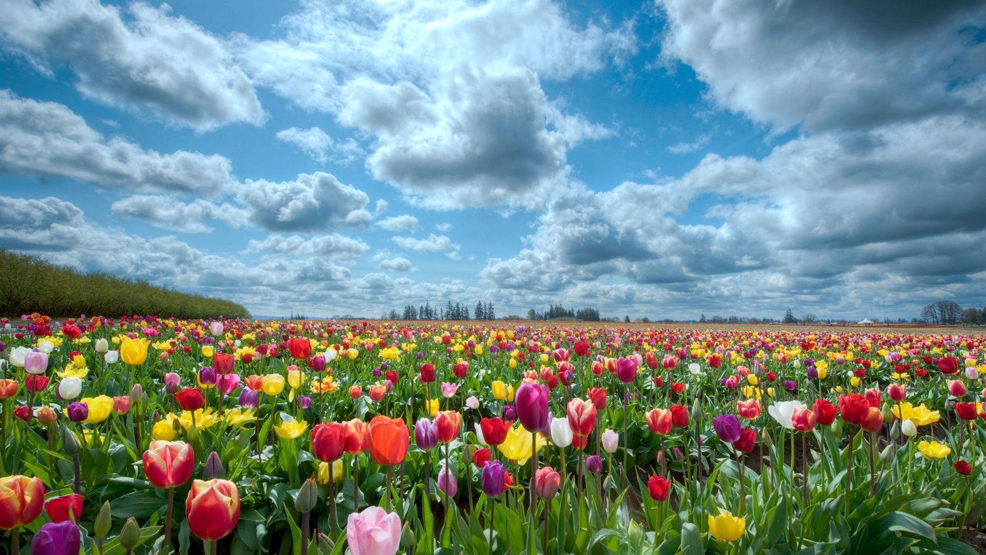 67049 Hintergrundbild herunterladen Natur, Blumen, Sky, Tulpen, Feld - Bildschirmschoner und Bilder kostenlos