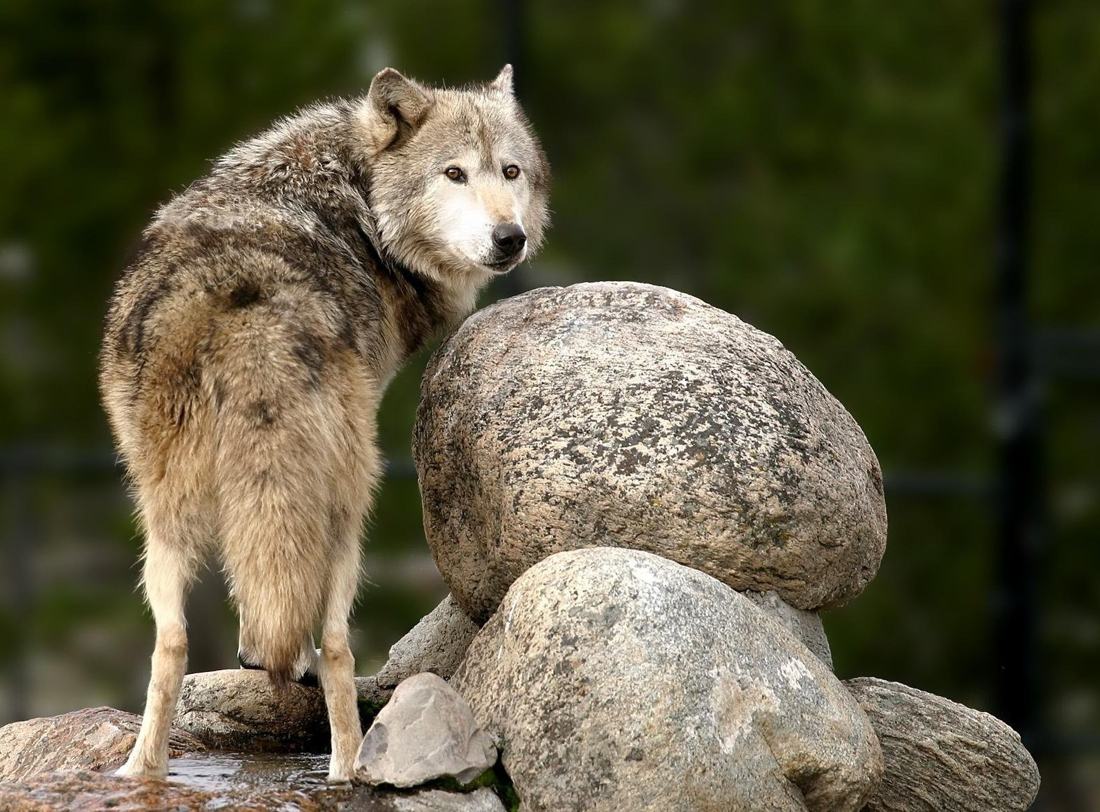 68985 download wallpaper Animals, Stones, Predator, Sight, Opinion screensavers and pictures for free