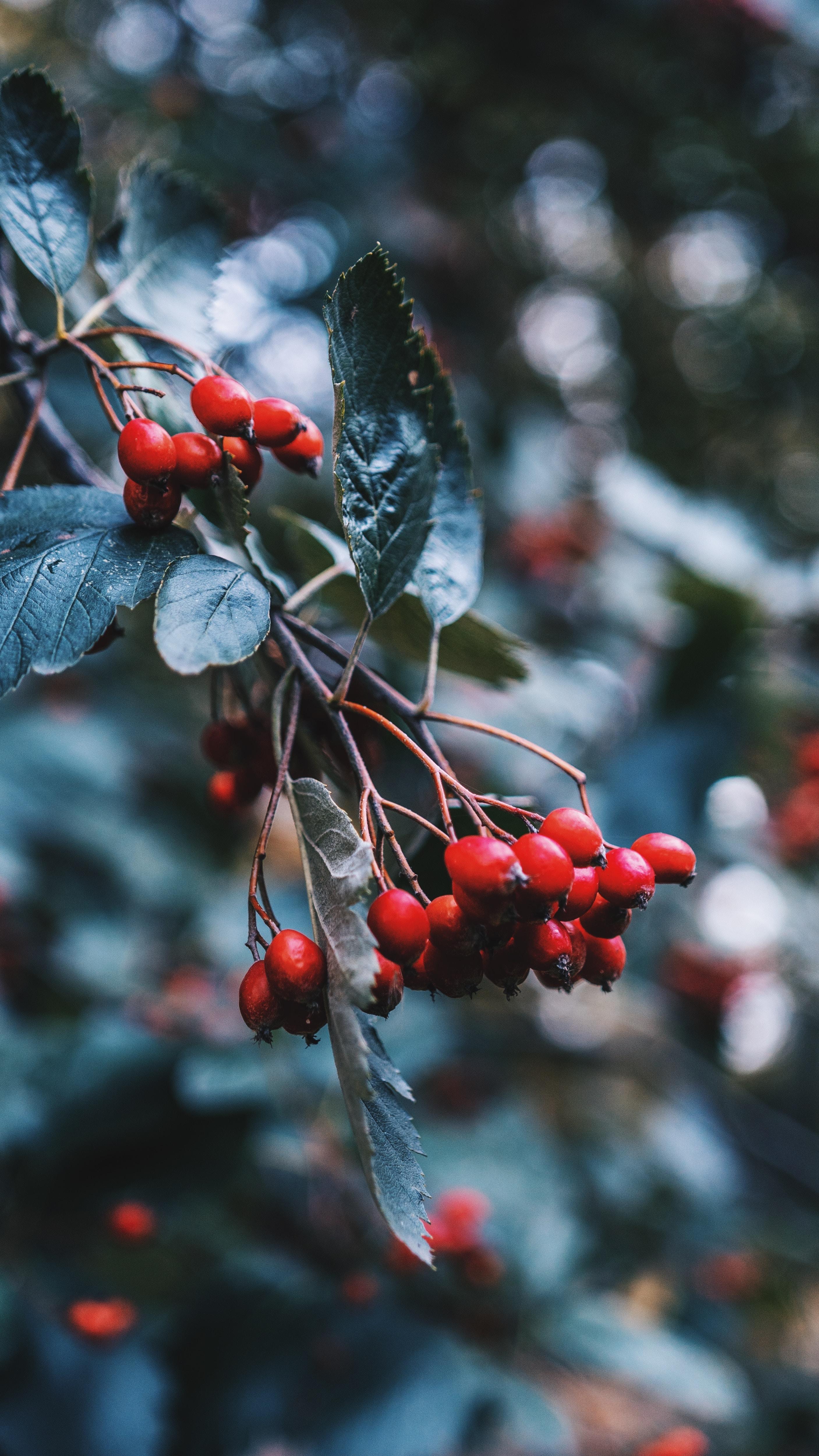 63584 скачать обои Ягоды, Шиповник, Растение, Макро, Красный, Ветка - заставки и картинки бесплатно