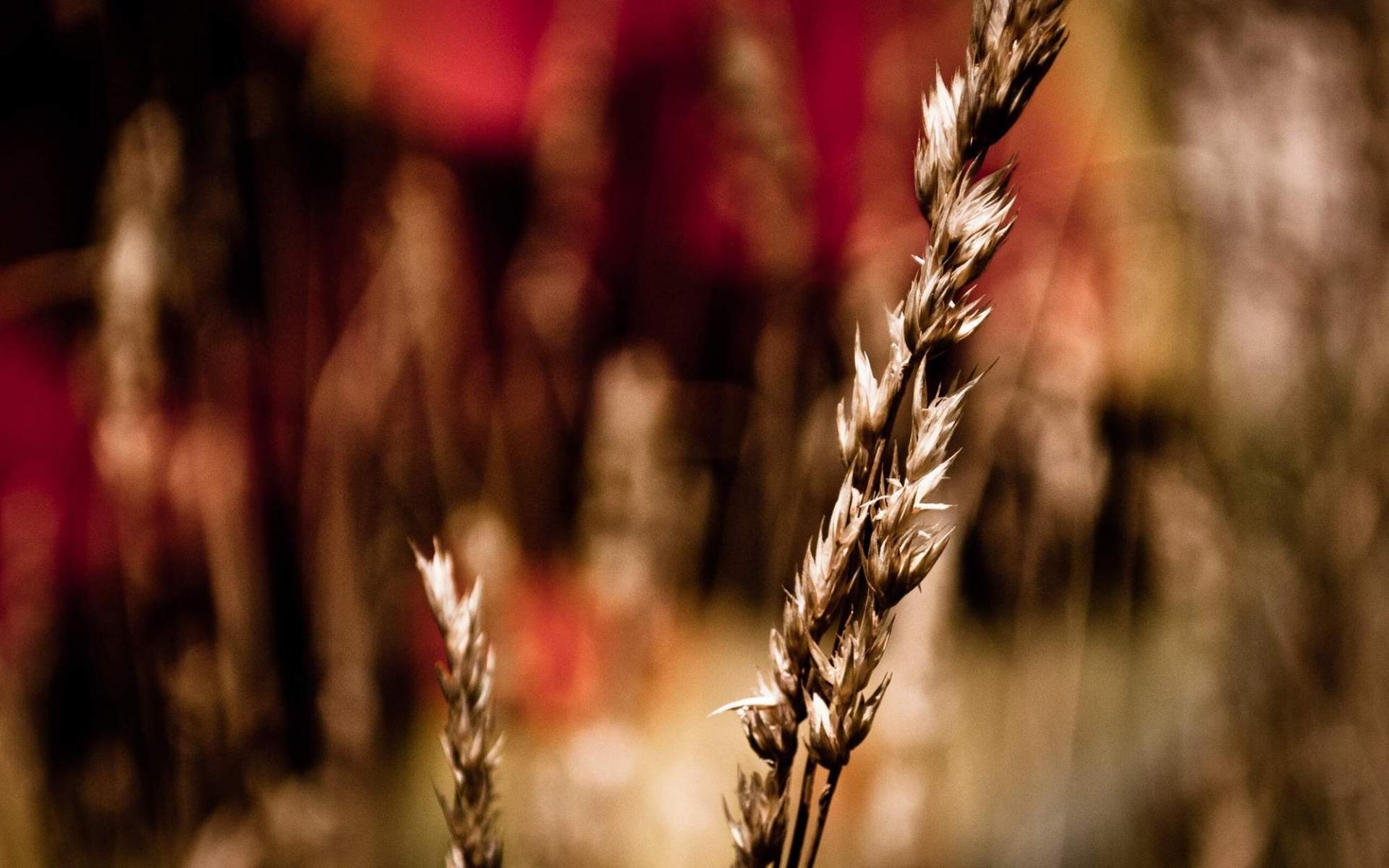 46404 скачать обои Растения, Пшеница - заставки и картинки бесплатно