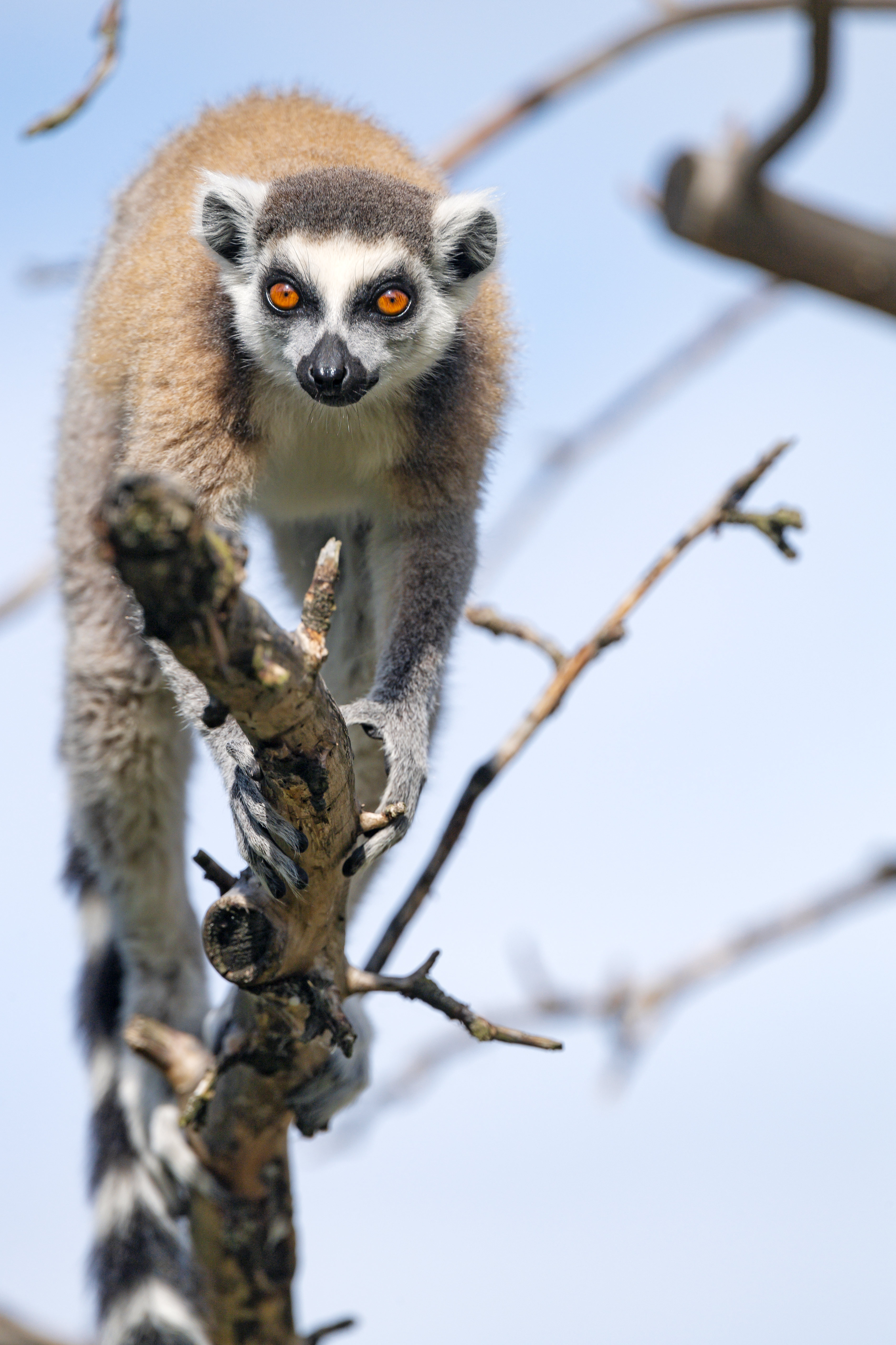98921 download wallpaper Animals, Lemur, Animal, Funny, Wood, Tree screensavers and pictures for free