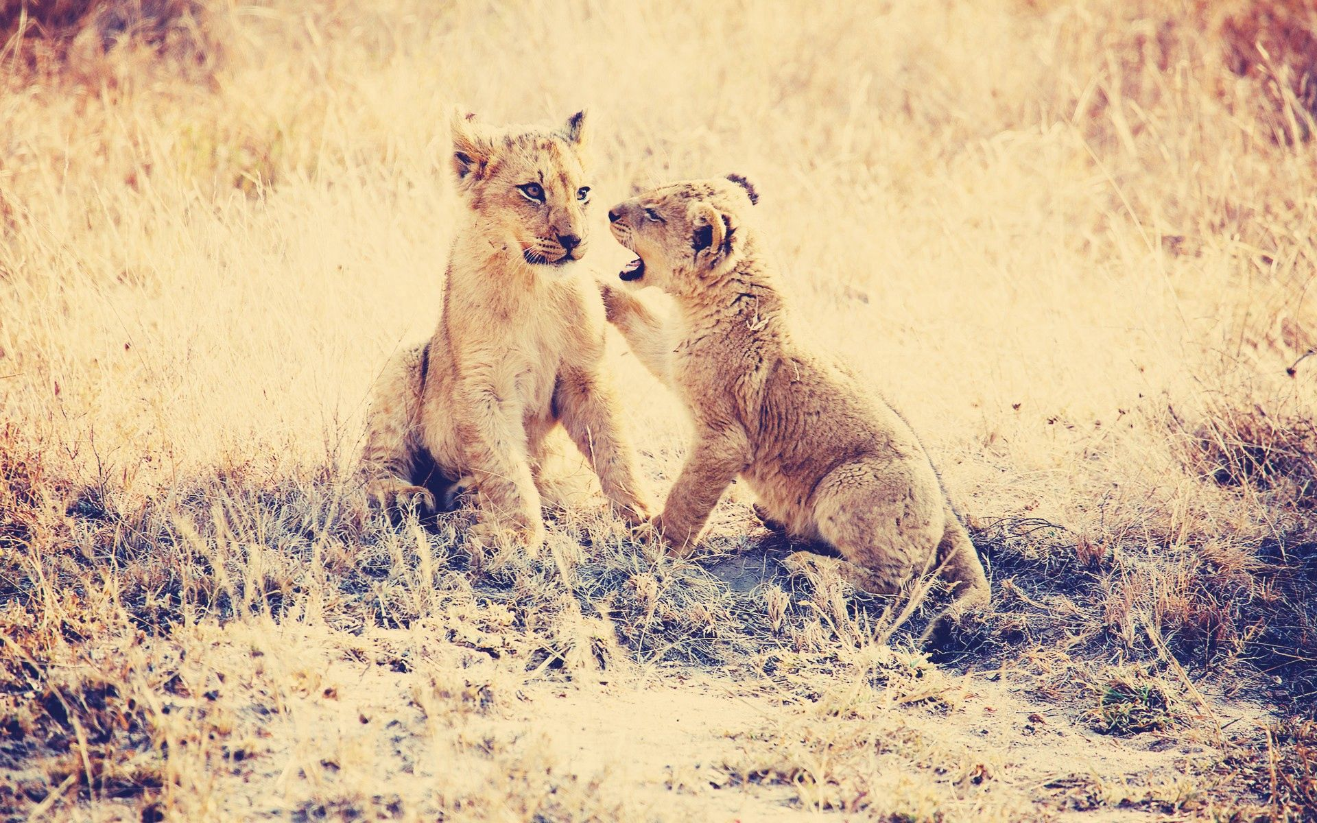 139920 download wallpaper Animals, Cubs, Young, Grass, Playful, Predators, Lions screensavers and pictures for free