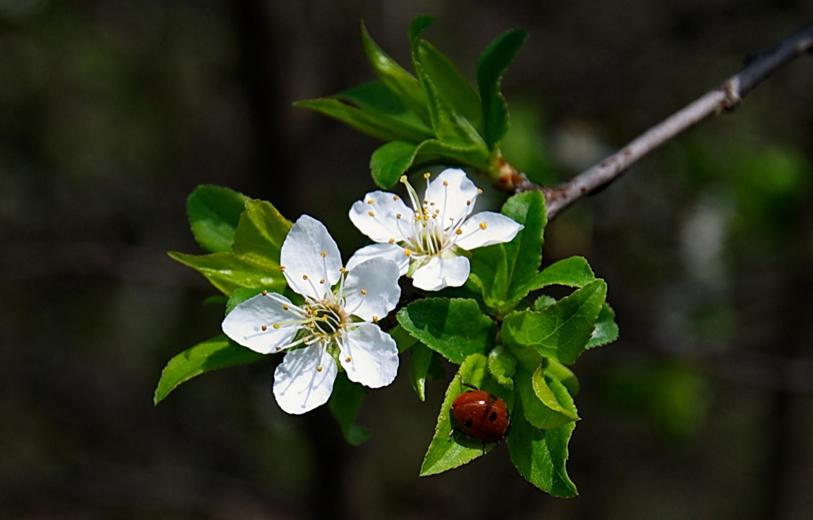 33611 скачать обои Насекомые, Растения, Божьи Коровки, Цветы - заставки и картинки бесплатно