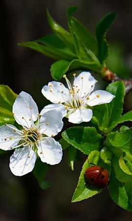33611 скачать обои Растения, Цветы, Насекомые, Божьи Коровки - заставки и картинки бесплатно