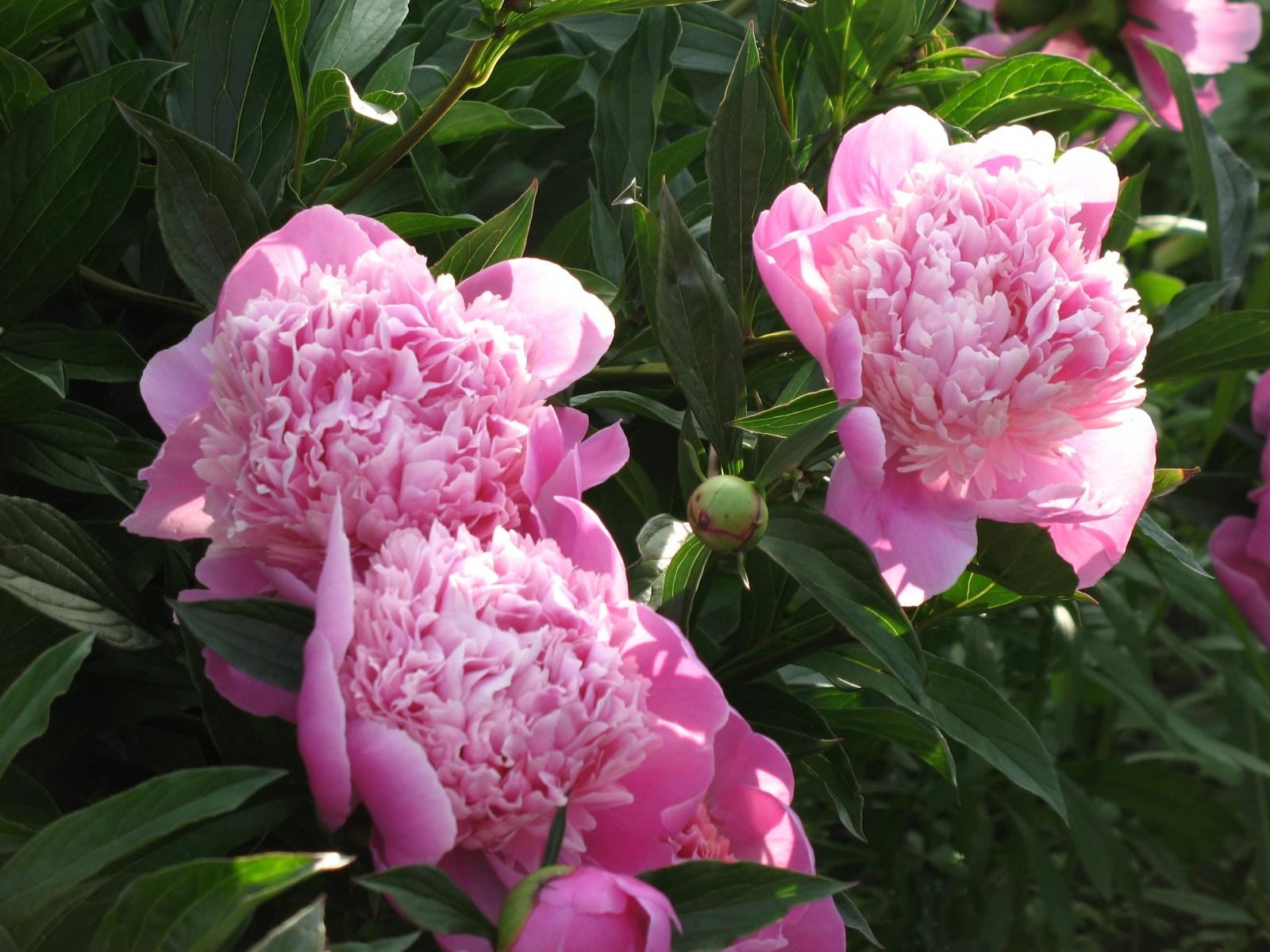 1142 скачать обои Растения, Пионы, Цветы - заставки и картинки бесплатно