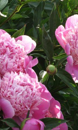 1142 скачать обои Растения, Цветы, Пионы - заставки и картинки бесплатно