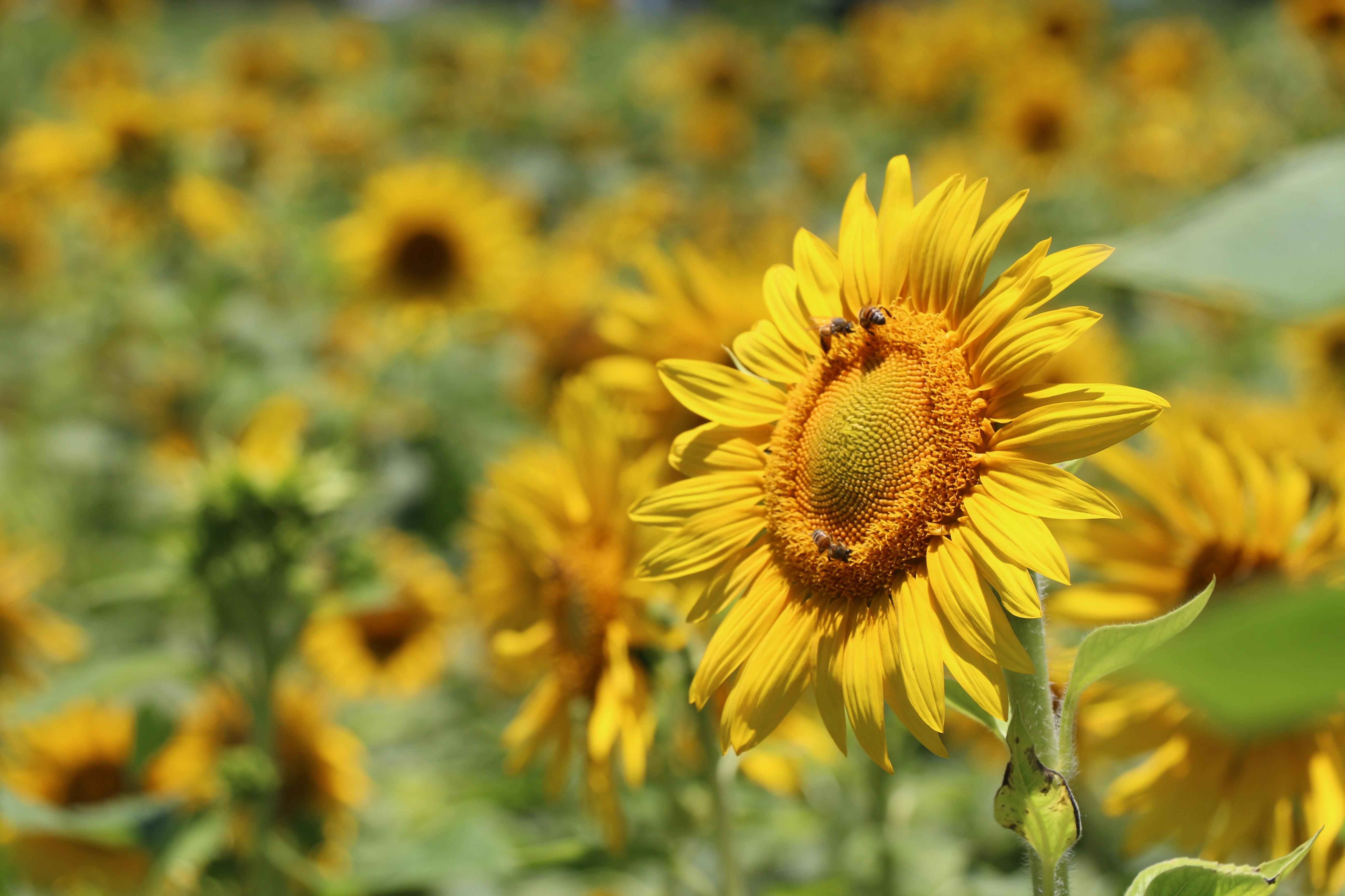 138302 Hintergrundbild herunterladen Blumen, Bienen, Unschärfe, Glatt, Sonnenblume, Bestäubung - Bildschirmschoner und Bilder kostenlos