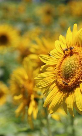 138302 télécharger le fond d'écran Fleurs, Tournesol, Pollinisation, Flou, Lisse, Abeilles - économiseurs d'écran et images gratuitement