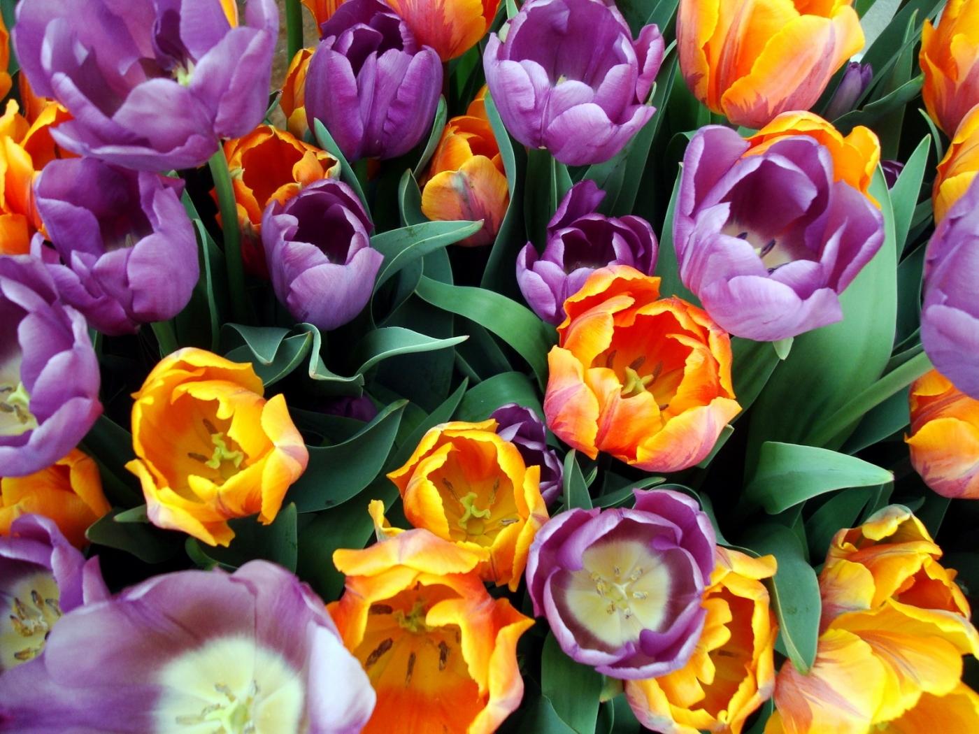 30942 télécharger le fond d'écran Plantes, Fleurs, Tulipes - économiseurs d'écran et images gratuitement