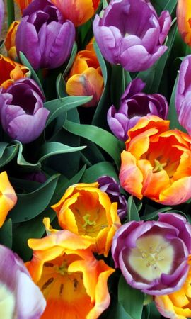 30942 descargar fondo de pantalla Plantas, Flores, Tulipanes: protectores de pantalla e imágenes gratis