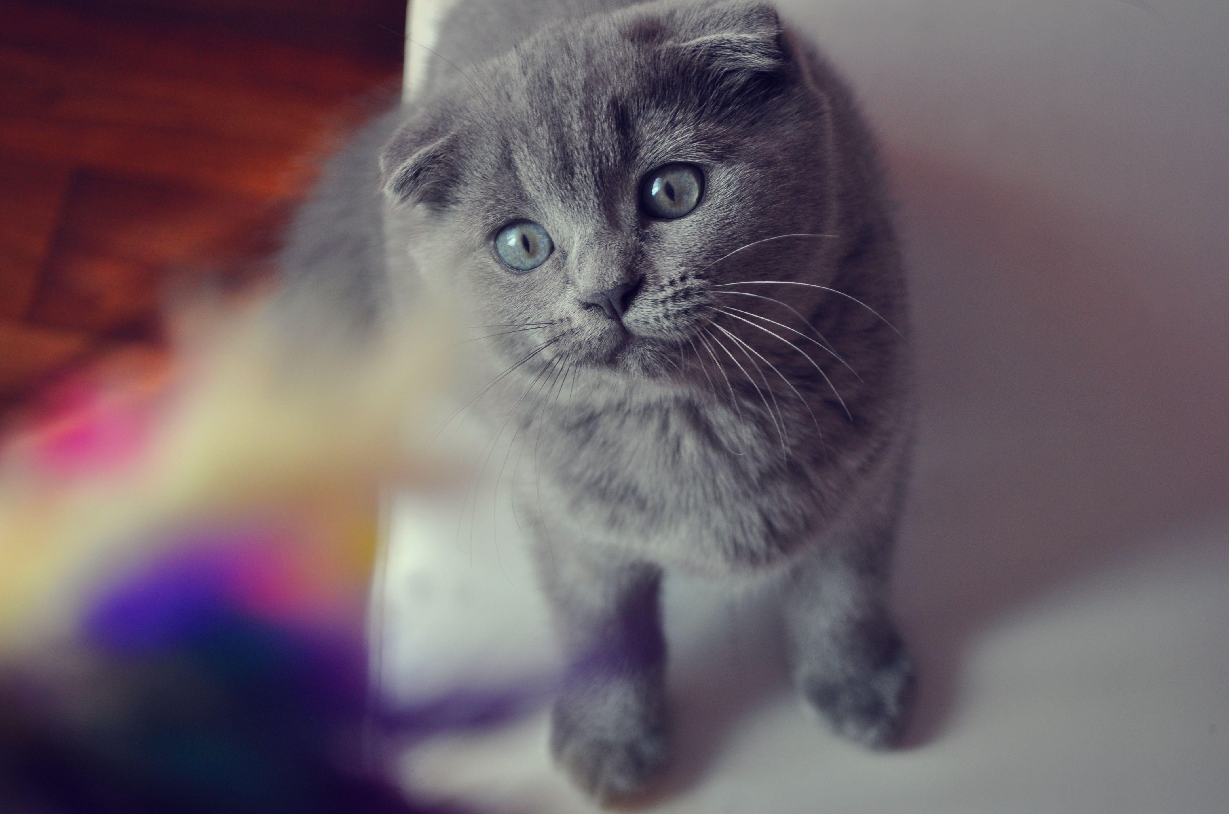137146 завантажити шпалери Кішки, Тварини, Кіт, Кішка, Морда, Погляд, Заява, Висловухий, Британець - заставки і картинки безкоштовно