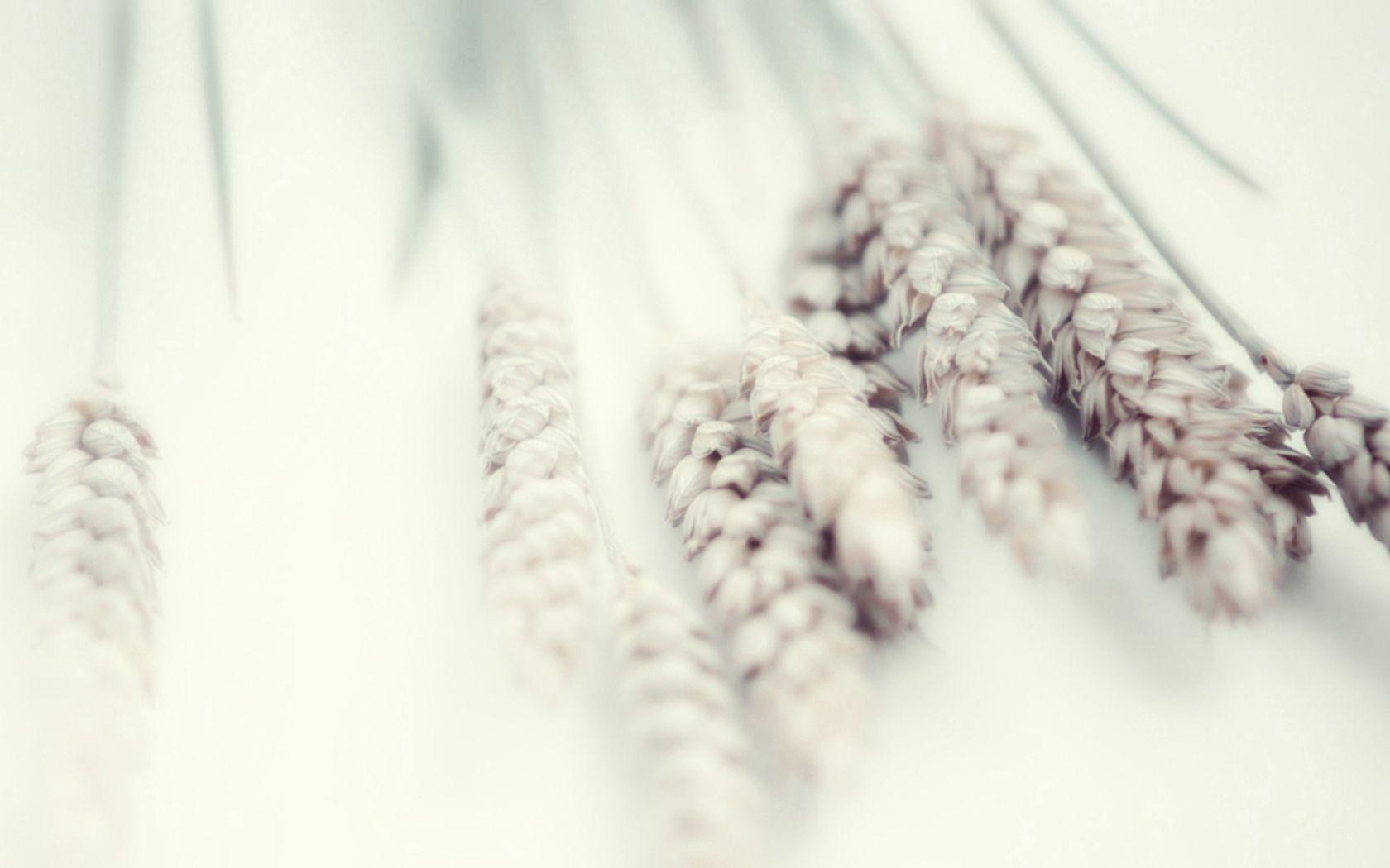 98451 скачать обои Макро, Белый, Нежность, Растение, Пшеница - заставки и картинки бесплатно