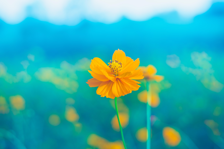 145817 Hintergrundbild herunterladen Blumen, Blume, Blütenblätter, Zärtlich, Zart, Stengel, Stiel, Blüht, Blüten, Stößel - Bildschirmschoner und Bilder kostenlos