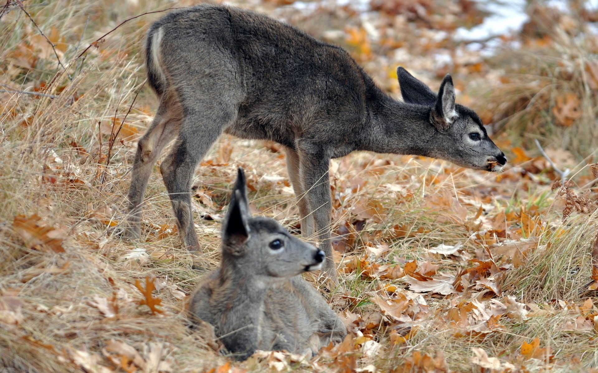 156315 download wallpaper Animals, Deers, Cubs, Young, Grass, To Lie Down, Lie, To Stand, Stand screensavers and pictures for free