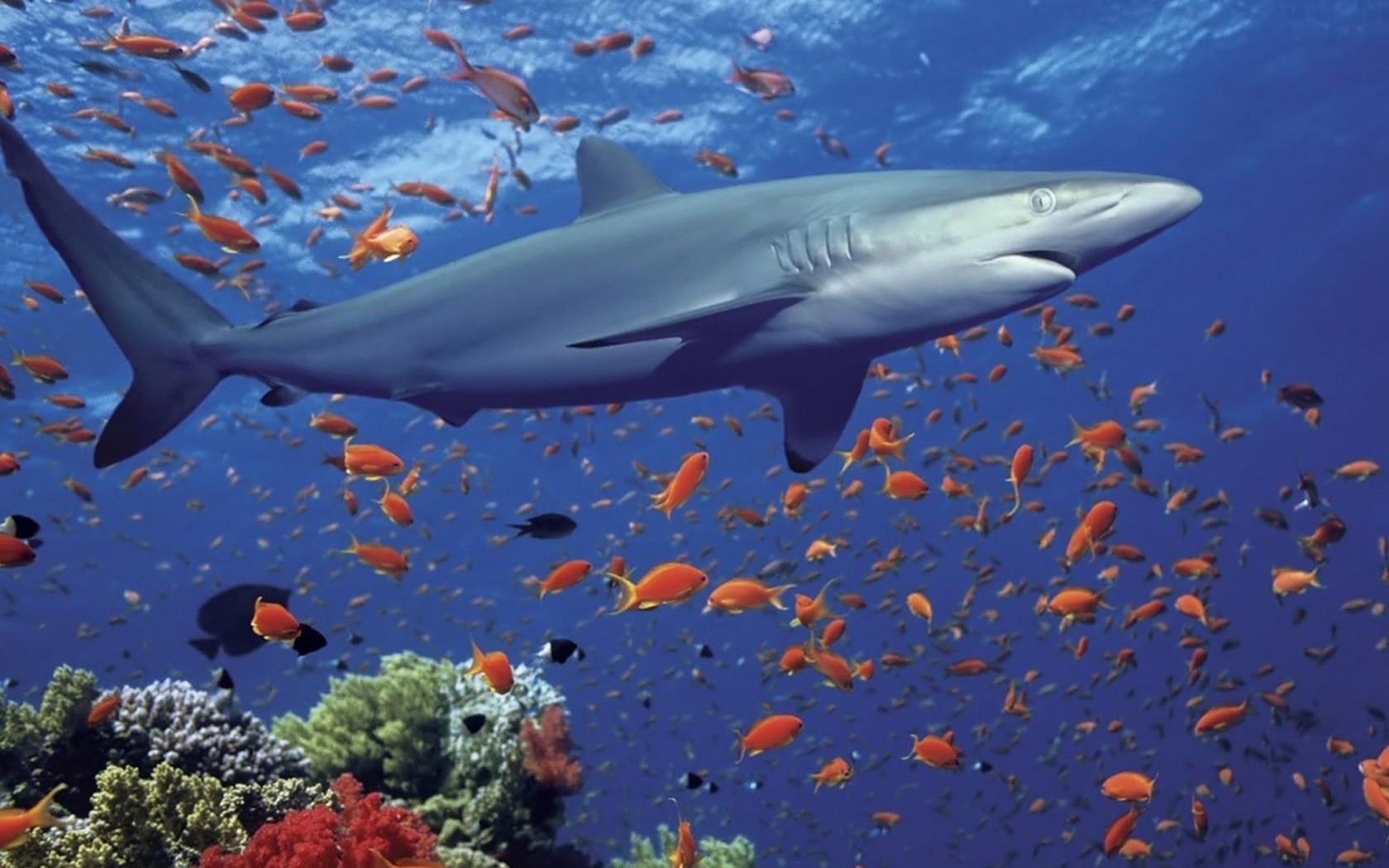 508 download wallpaper Animals, Water, Sea, Sharks, Fishes screensavers and pictures for free
