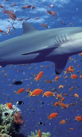 508 baixar papel de parede Animais, Água, Mar, Sharks, Peixes - protetores de tela e imagens gratuitamente