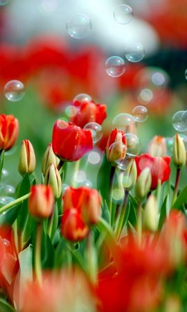 34671 descargar fondo de pantalla Plantas, Tulipanes: protectores de pantalla e imágenes gratis