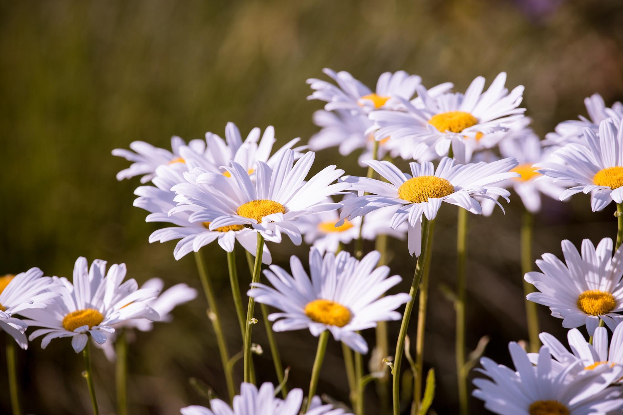 132835 Заставки и Обои Ромашки на телефон. Скачать Цветы, Ромашки, Лепестки картинки бесплатно