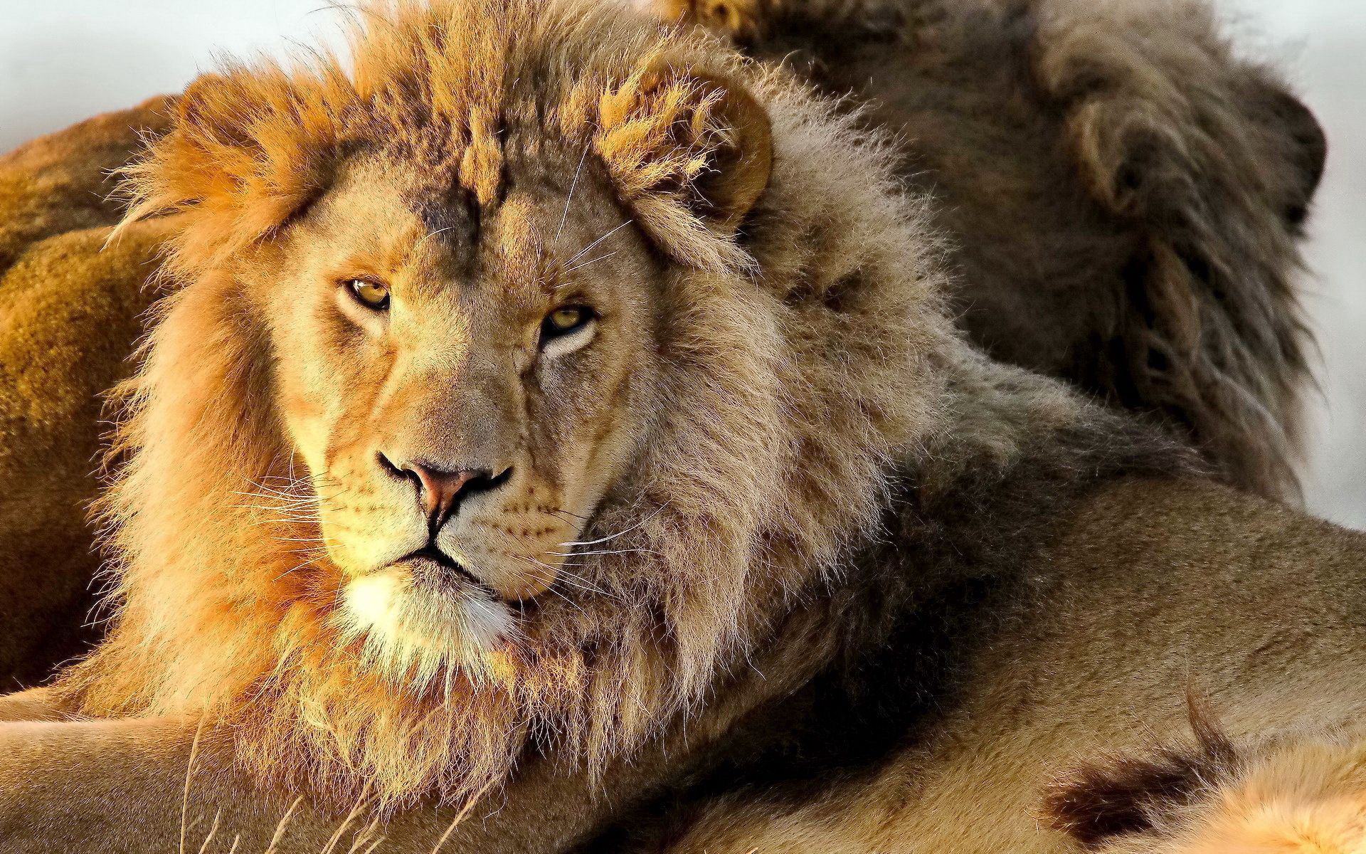 130039 download wallpaper Animals, Lion, Predator, Sight, Opinion, Mane screensavers and pictures for free