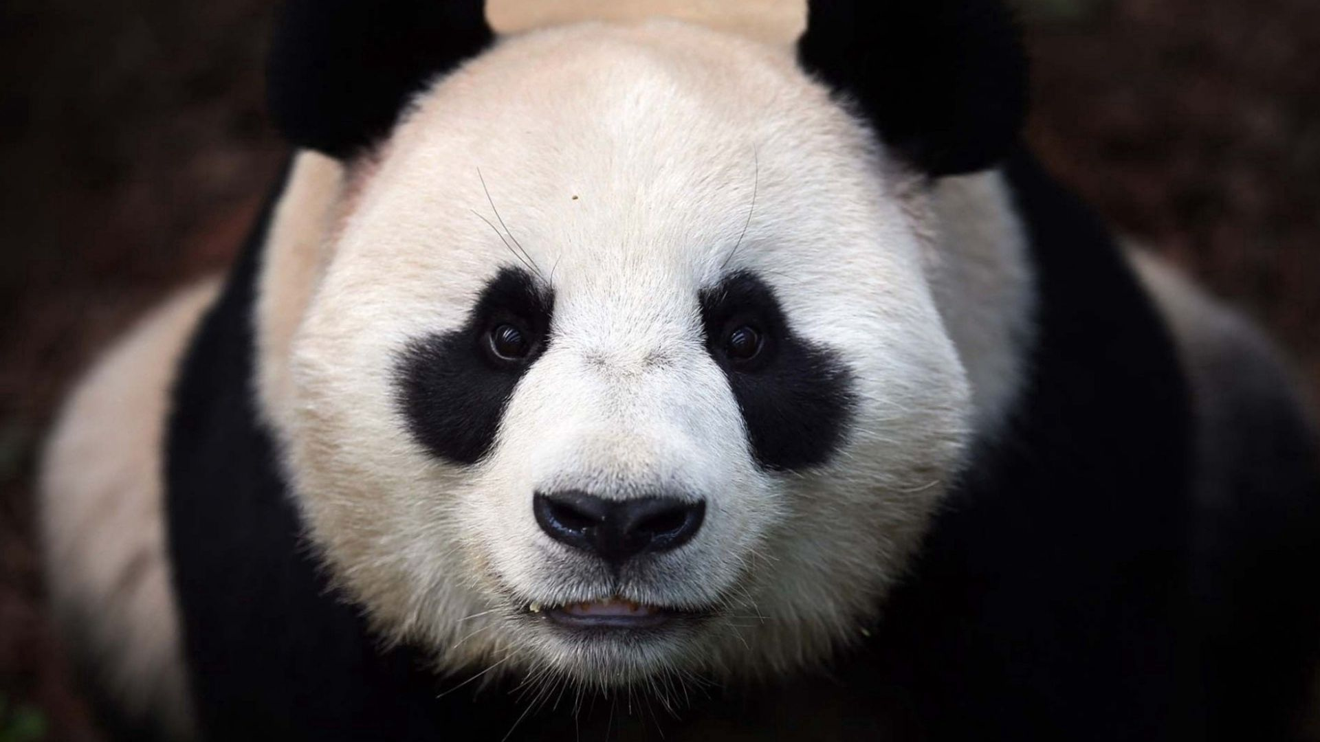 78986 download wallpaper Animals, Bear, Panda, Muzzle screensavers and pictures for free
