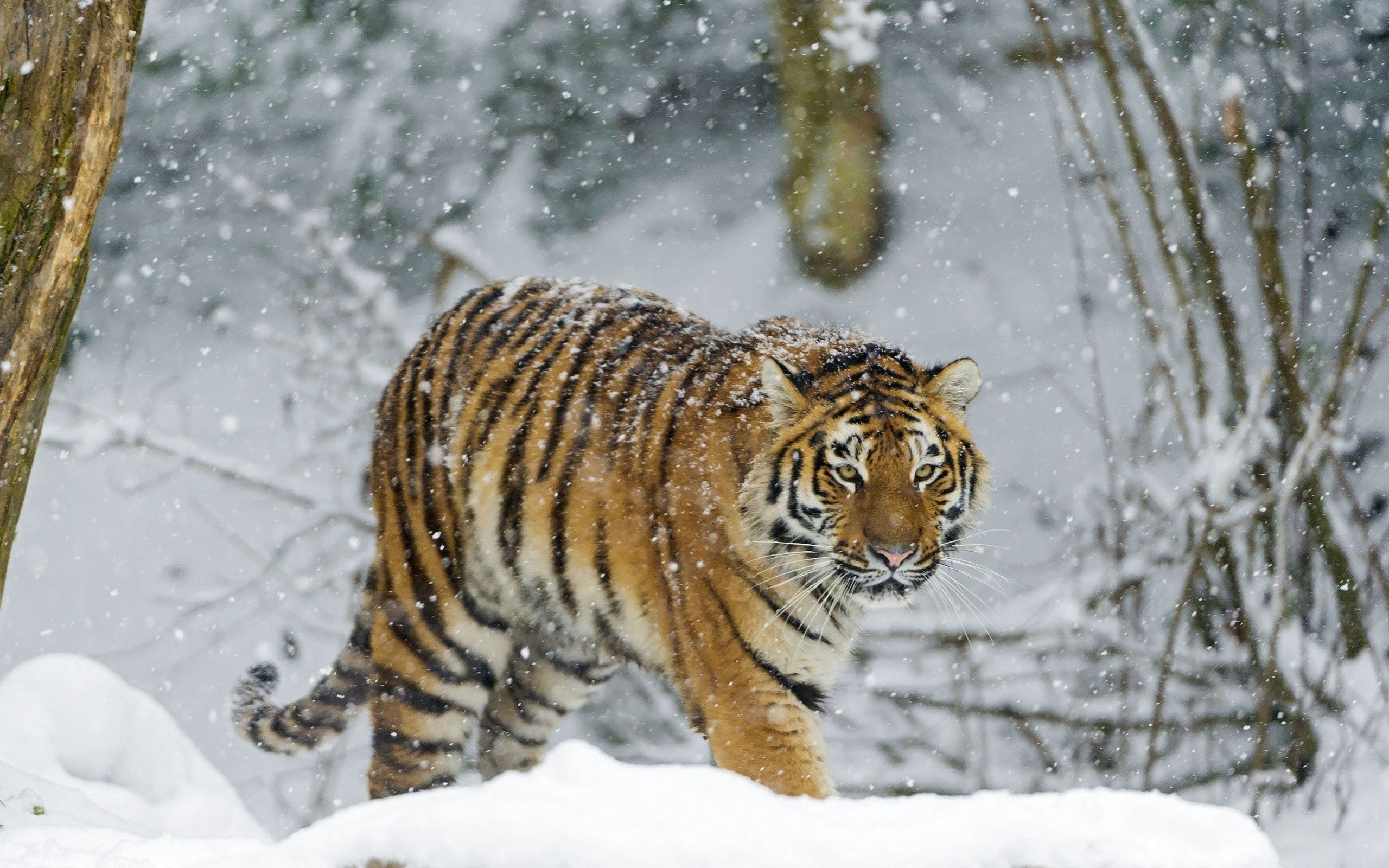 114420 download wallpaper Animals, Tiger, Snow, Stroll, Predator screensavers and pictures for free