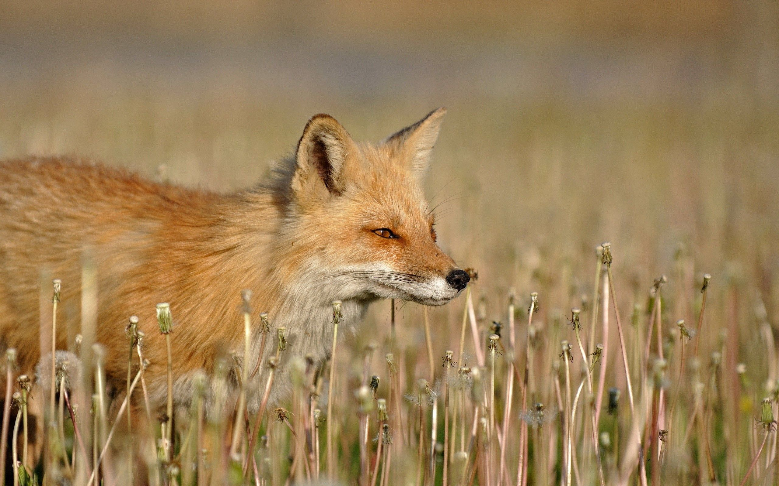 104174 download wallpaper Animals, Fox, Grass, Stroll, Hunting, Hunt screensavers and pictures for free