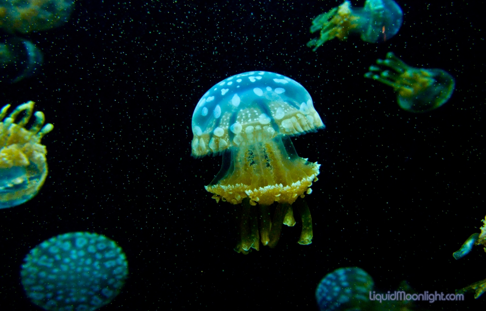 7842 download wallpaper Animals, Sea, Jellyfish screensavers and pictures for free