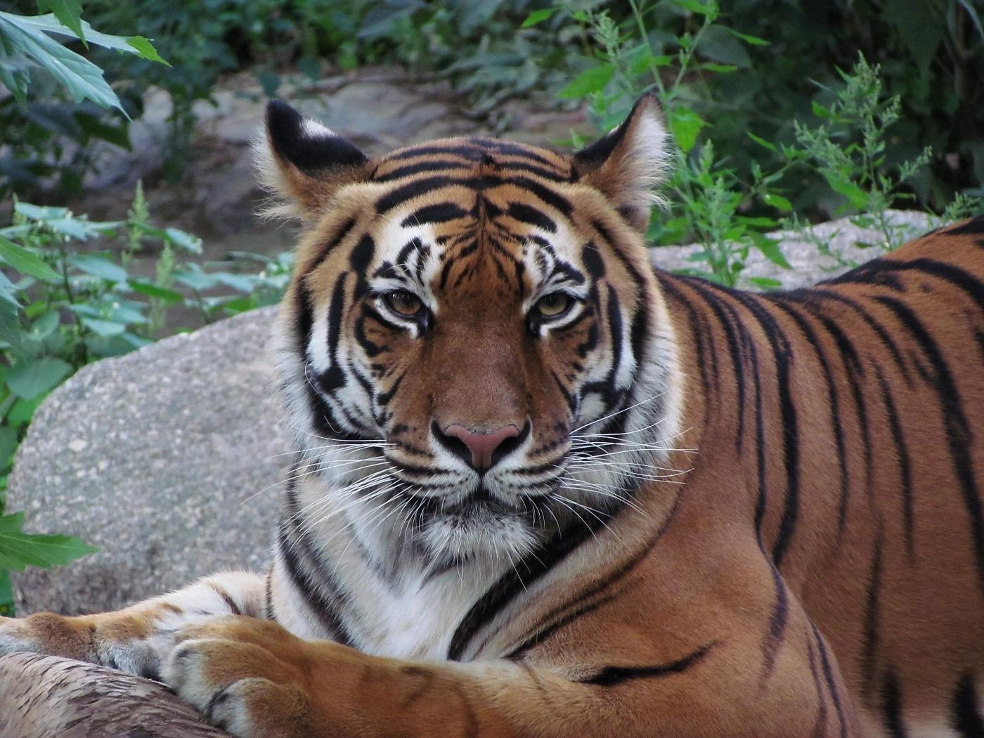 40741 descargar fondo de pantalla Animales, Tigres: protectores de pantalla e imágenes gratis