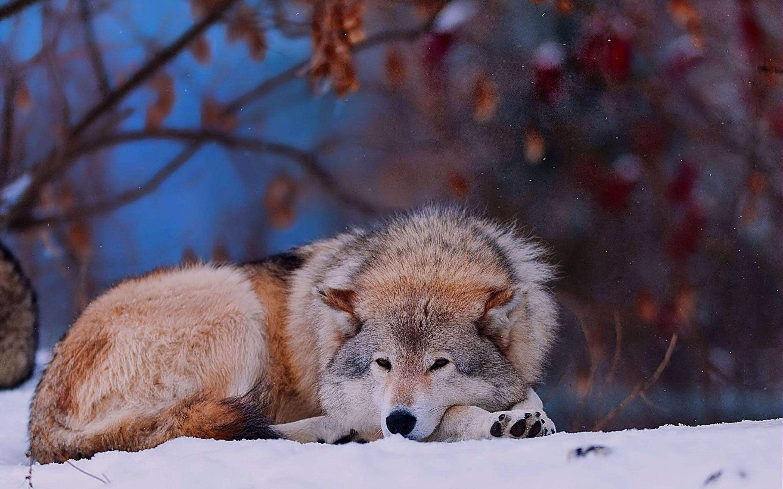 60444 descargar fondo de pantalla Animales, Lobo, Tumbarse, Mentir, Tristeza, Dolor, Perro: protectores de pantalla e imágenes gratis