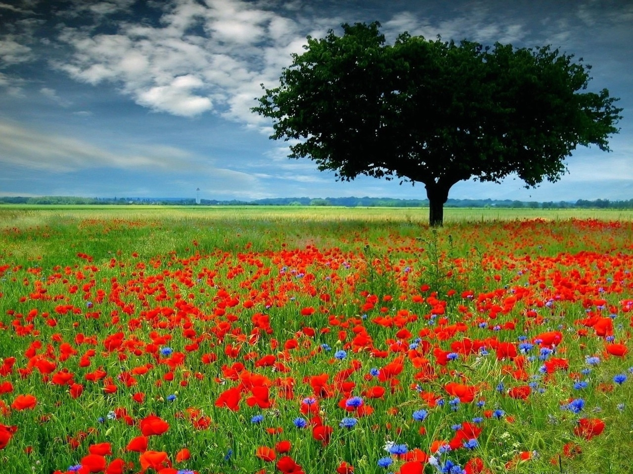 25030 Hintergrundbild herunterladen Felder, Landschaft, Bäume, Mohn - Bildschirmschoner und Bilder kostenlos
