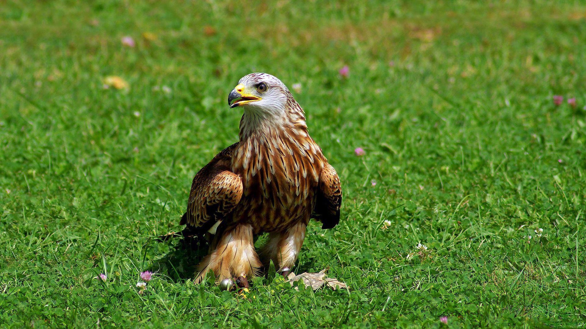 141880 Hintergrundbild herunterladen Vogel, Raubtier, Tiere, Grass, Predator, Adler - Bildschirmschoner und Bilder kostenlos