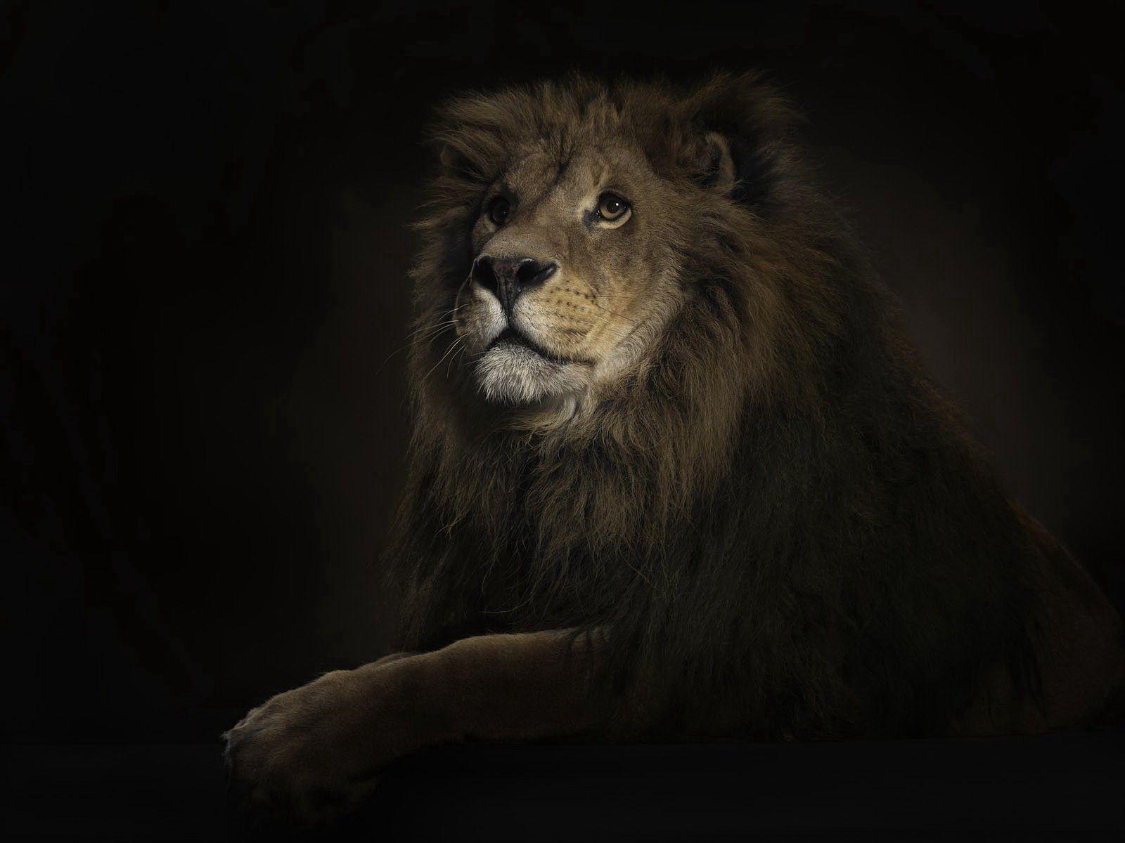 80496 скачать обои Хищник, Животные, Тень, Лев, Большая Кошка - заставки и картинки бесплатно